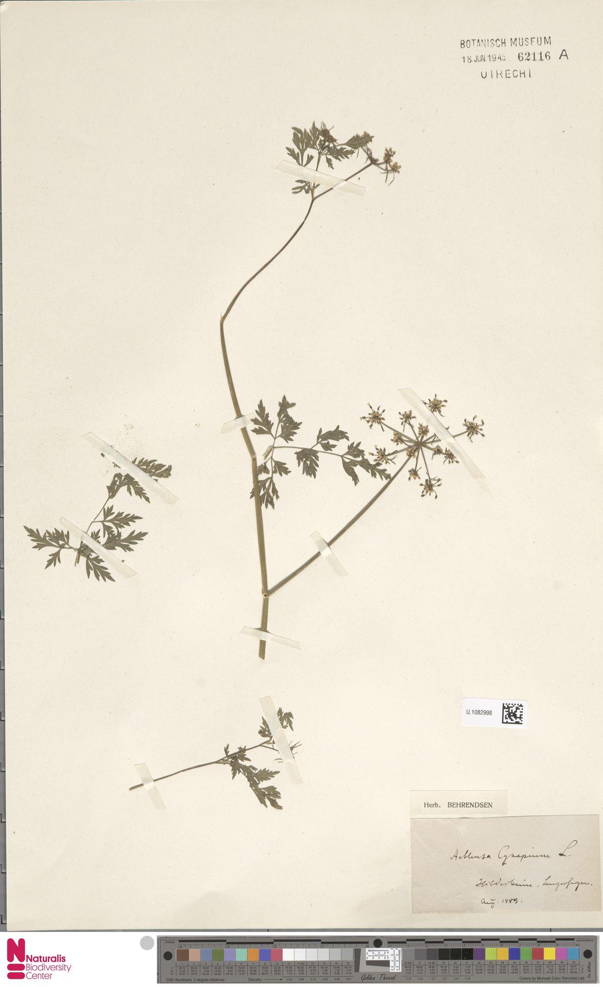 U.1082998 | Aethusa cynapium L.