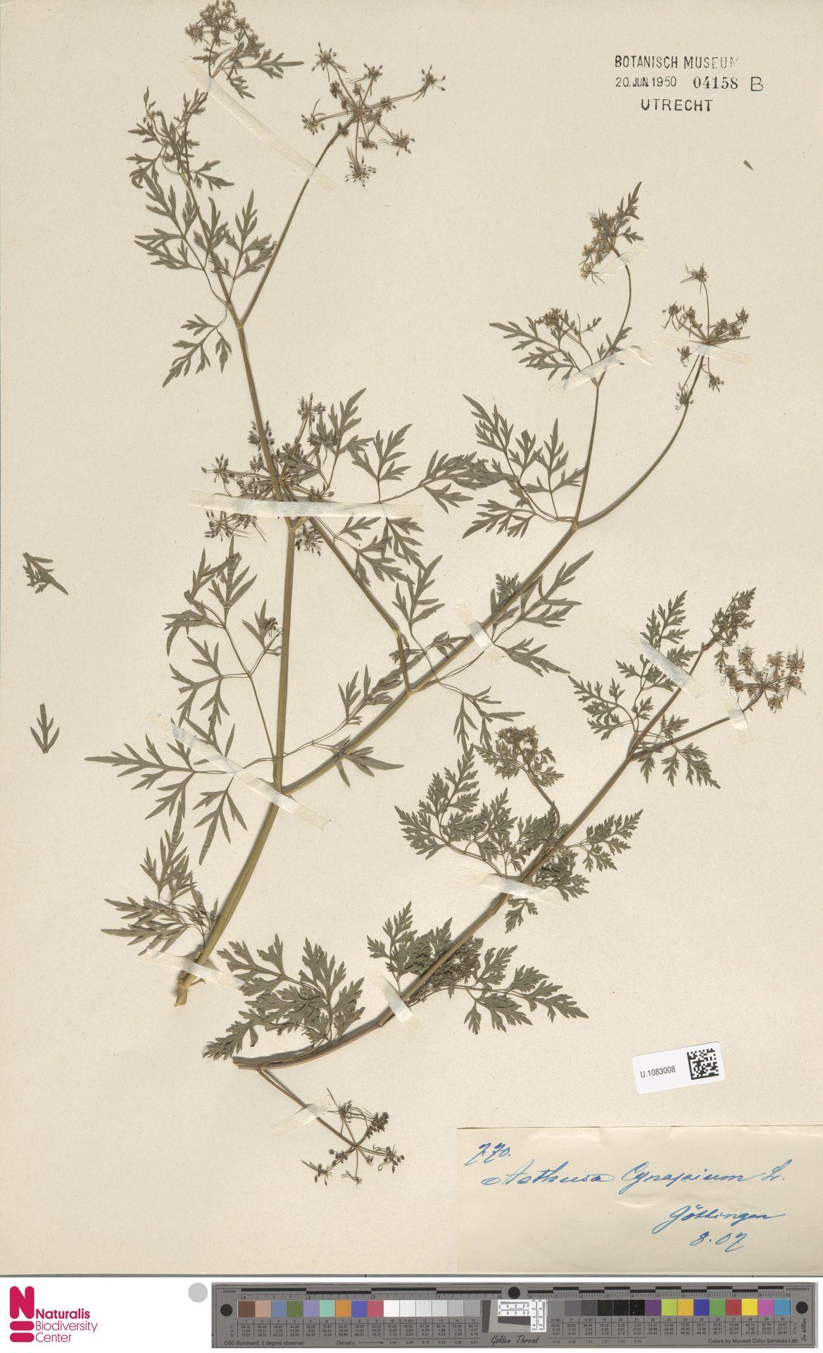U.1083008 | Aethusa cynapium L.