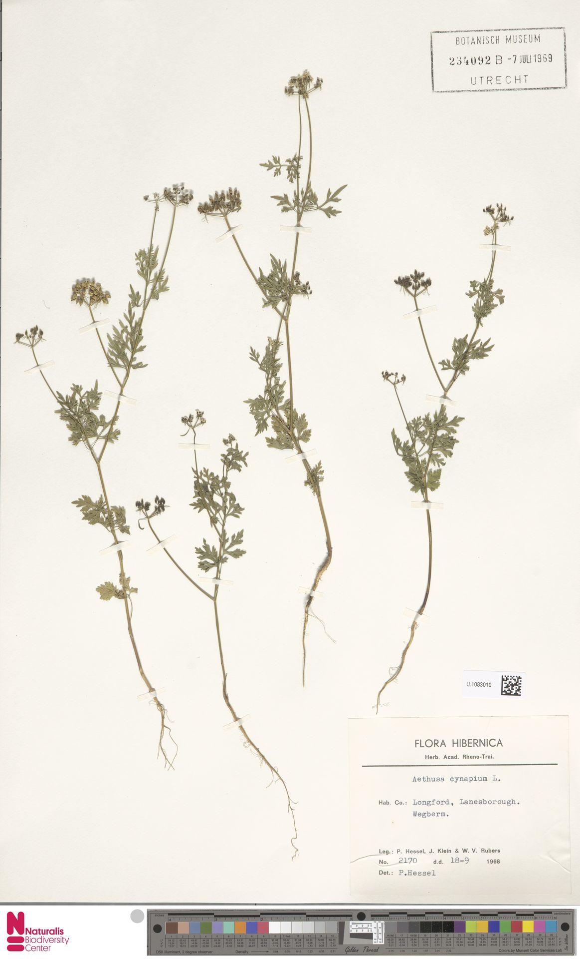 U.1083010 | Aethusa cynapium L.
