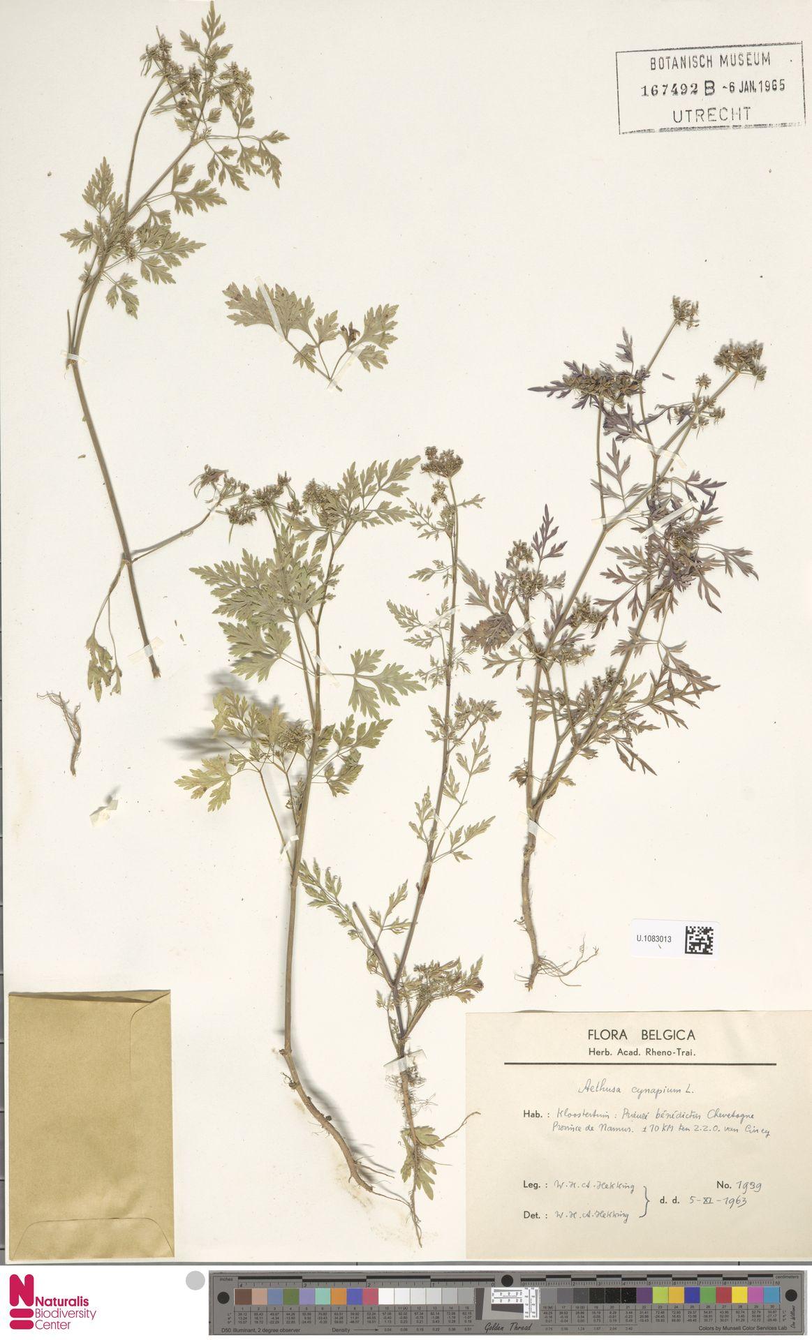 U.1083013 | Aethusa cynapium L.