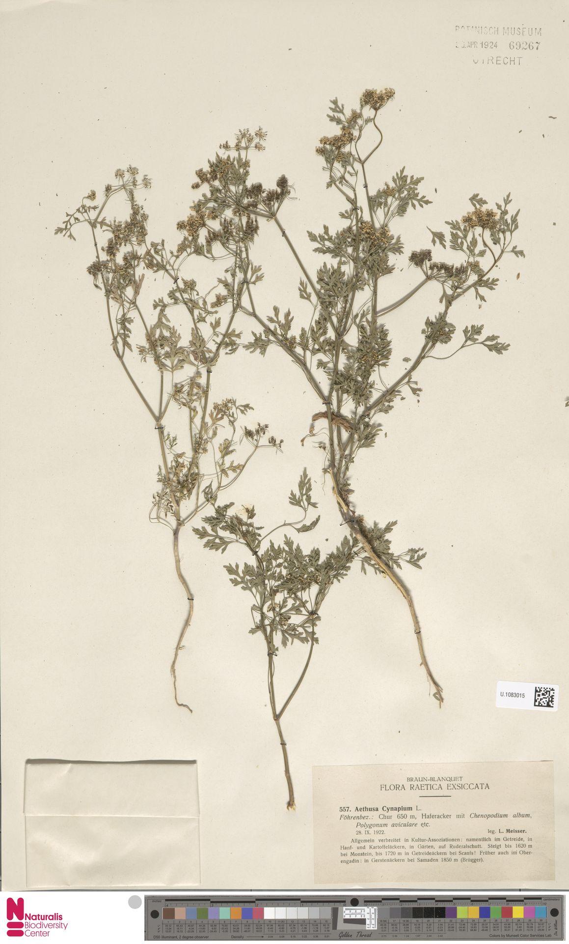 U.1083015 | Aethusa cynapium L.