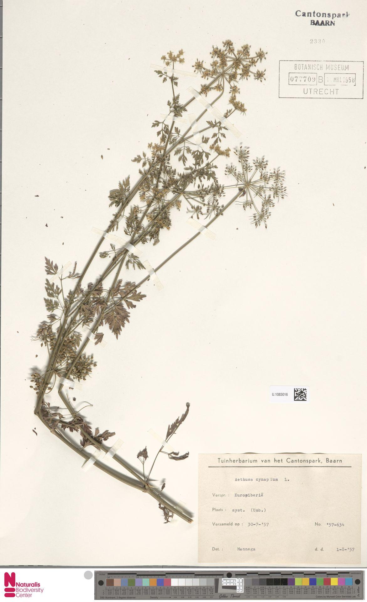 U.1083016 | Aethusa cynapium L.