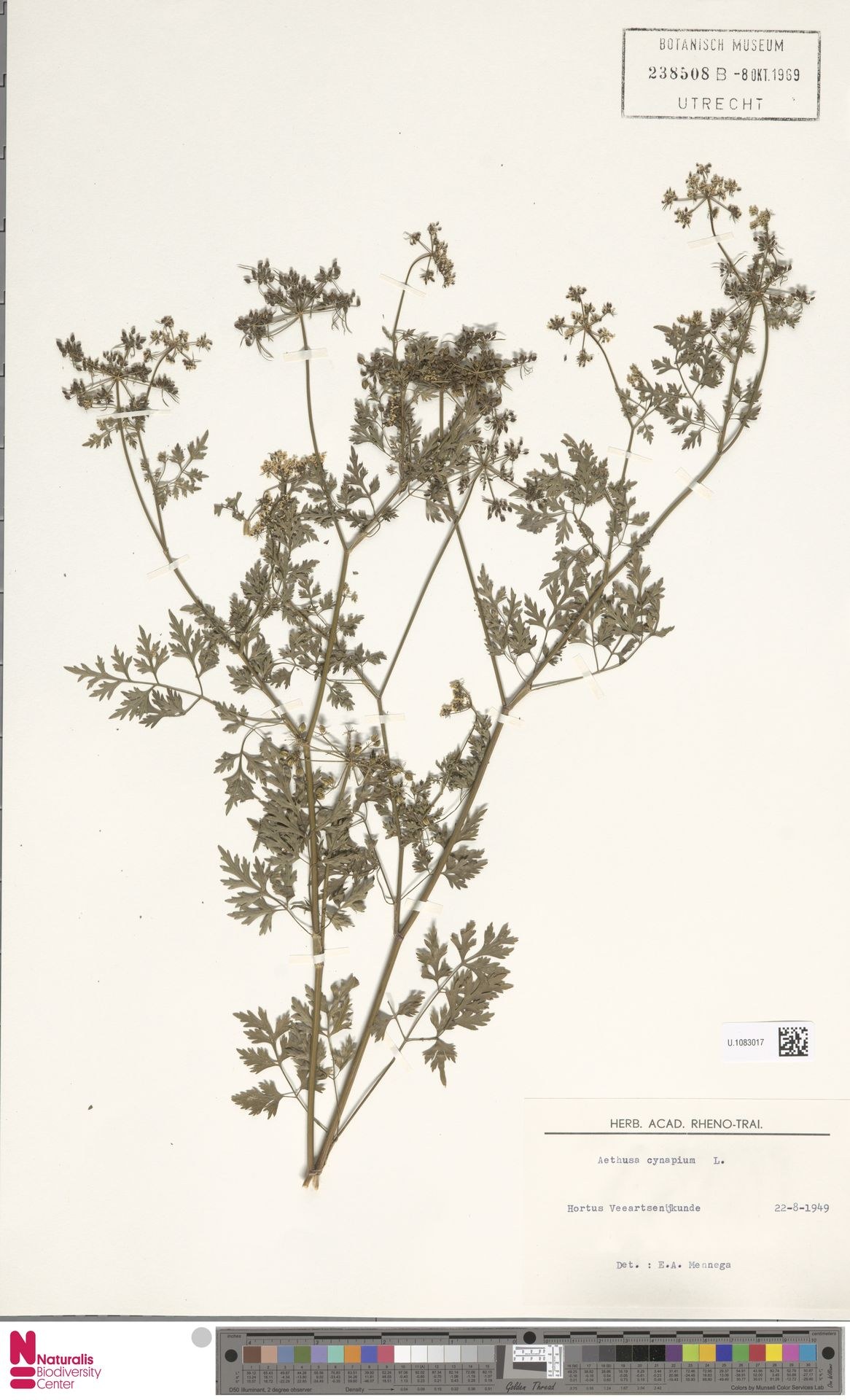 U.1083017   Aethusa cynapium L.