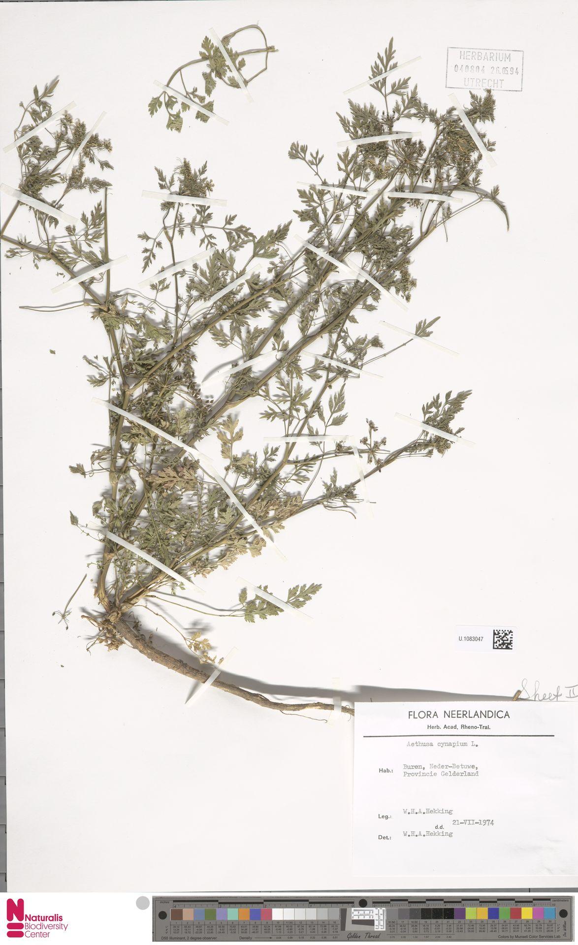 U.1083047 | Aethusa cynapium L.