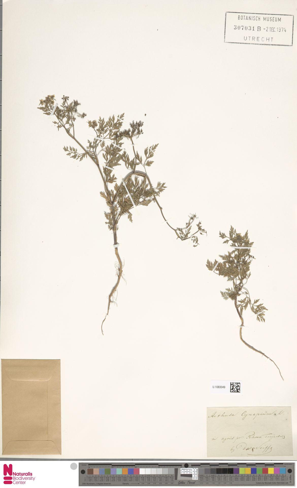 U.1083049 | Aethusa cynapium L.