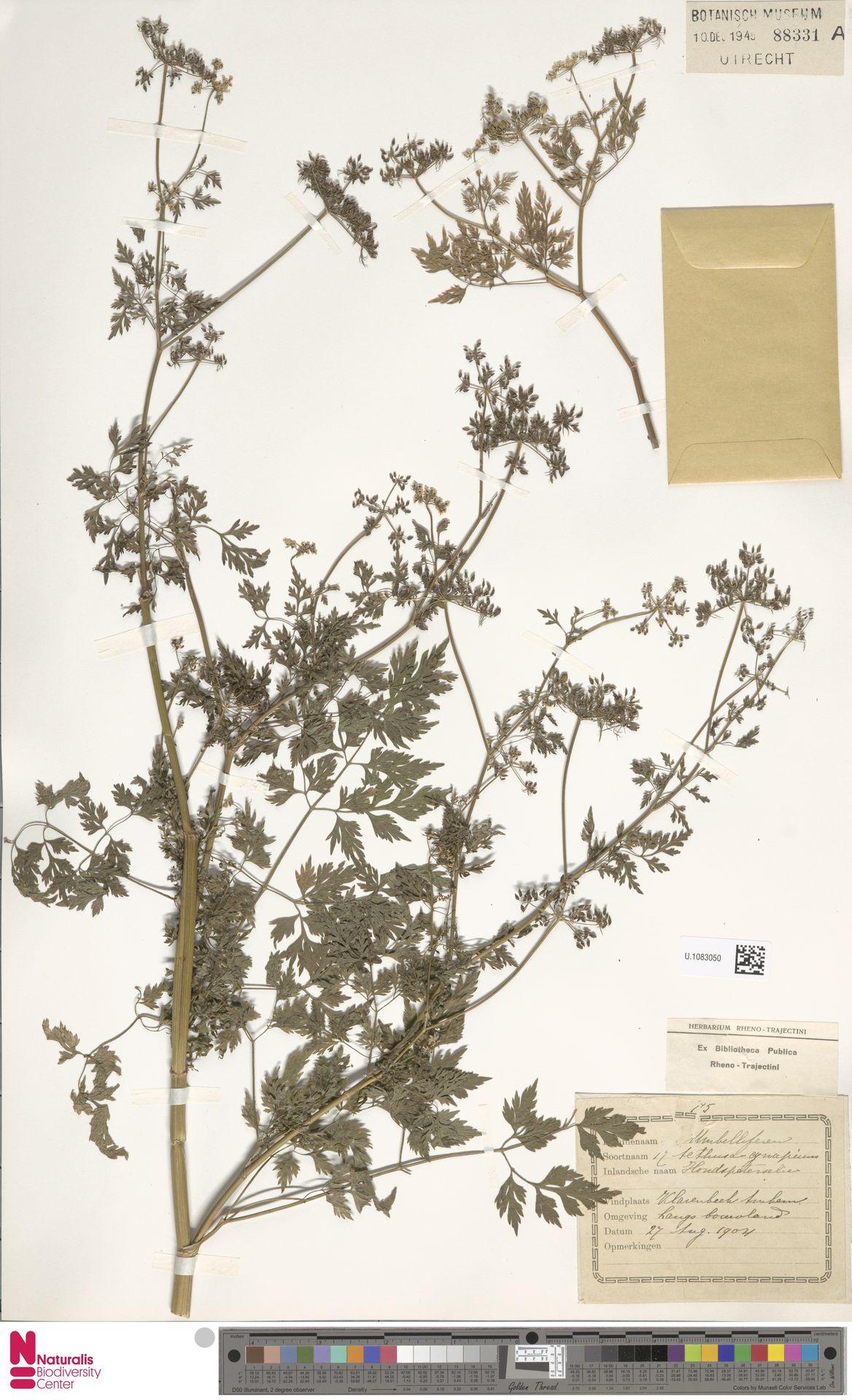 U.1083050   Aethusa cynapium L.
