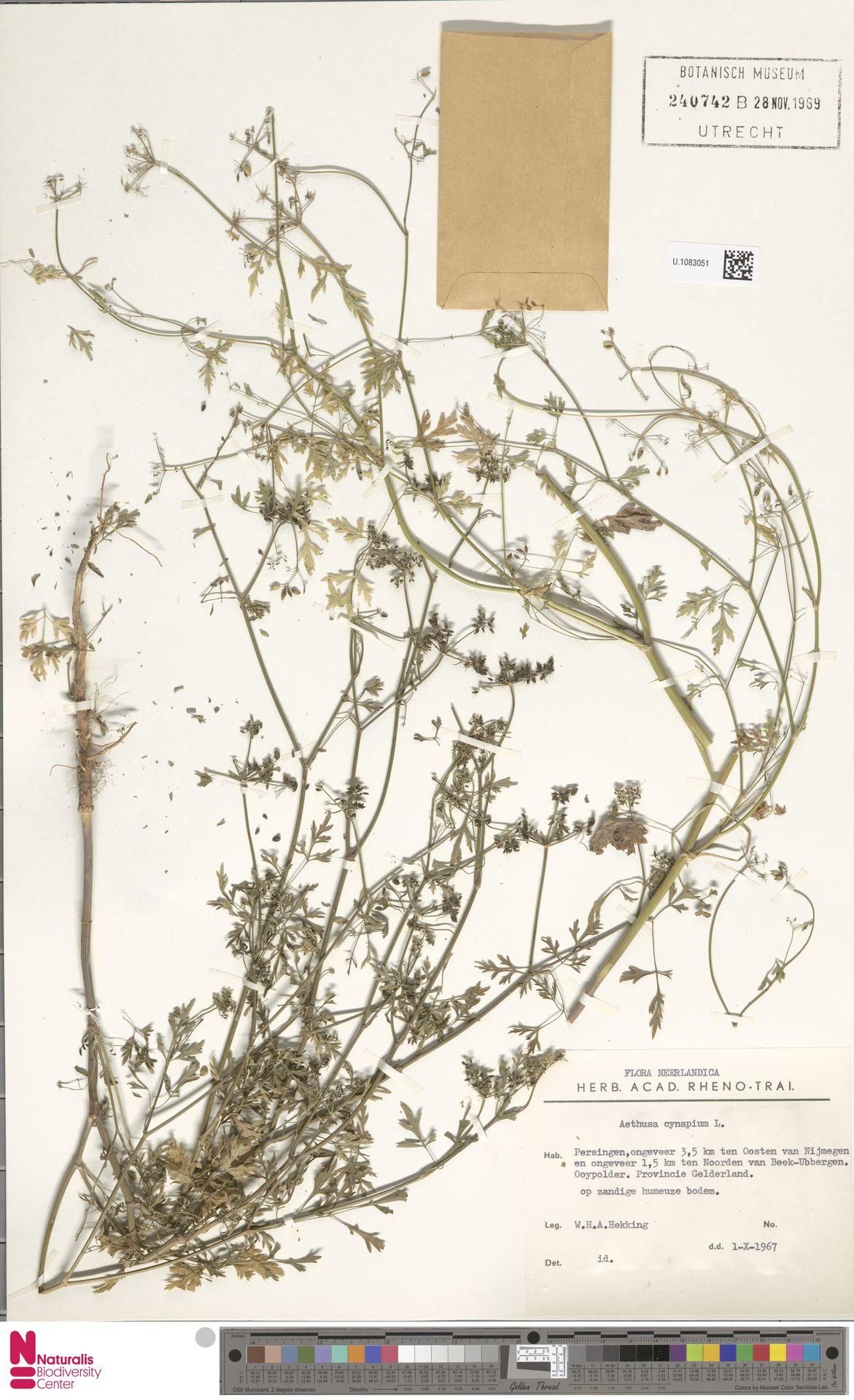 U.1083051 | Aethusa cynapium L.