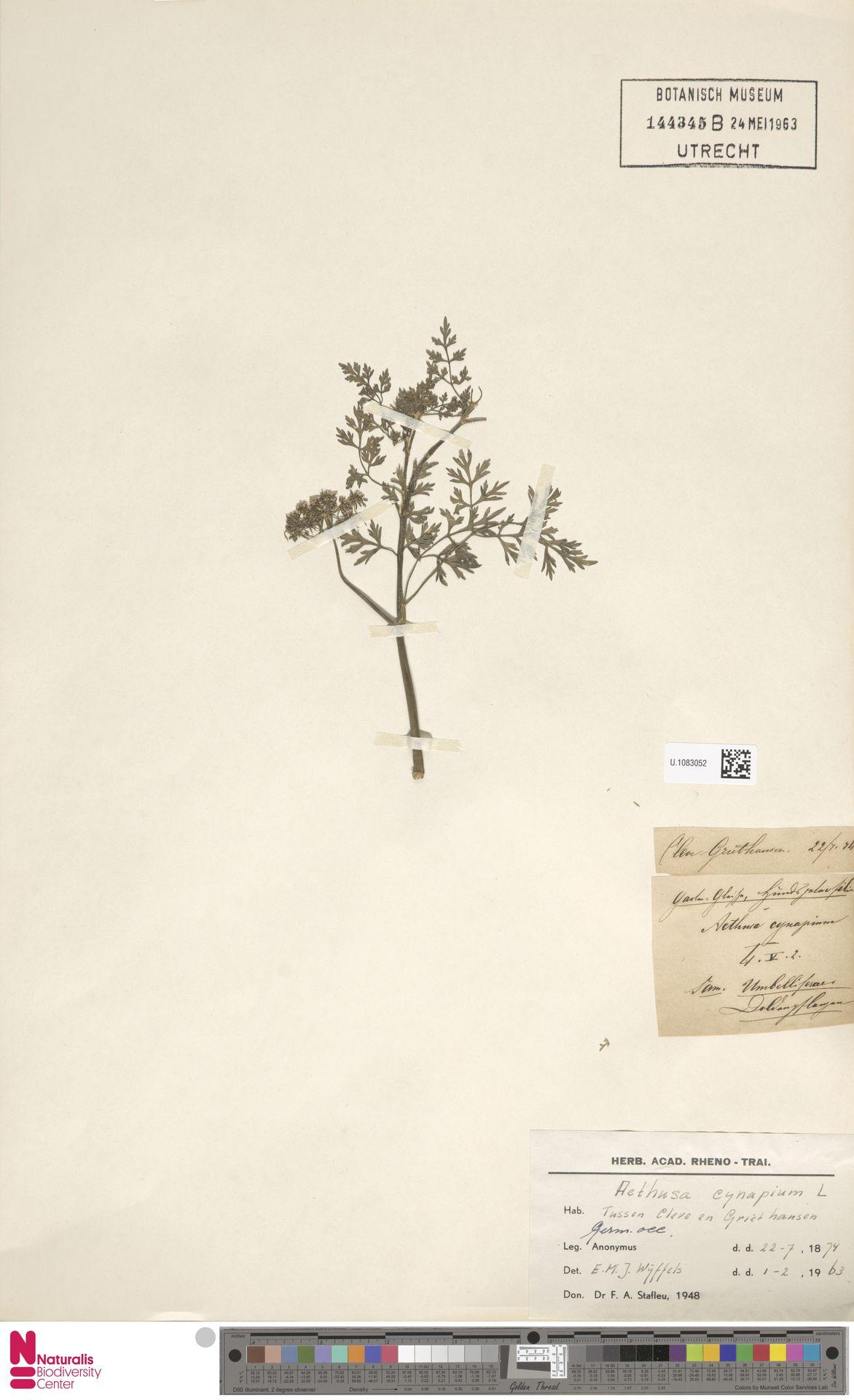 U.1083052 | Aethusa cynapium L.