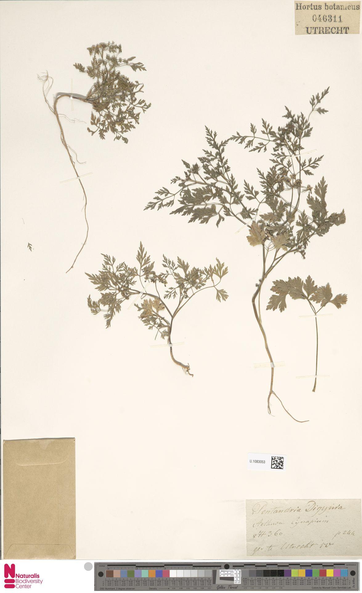 U.1083053 | Aethusa cynapium L.