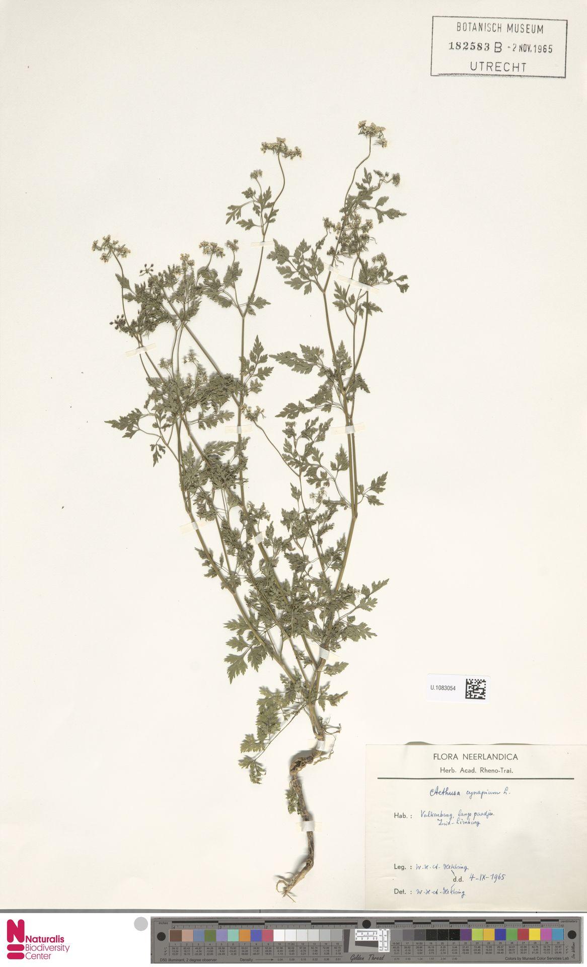 U.1083054 | Aethusa cynapium L.