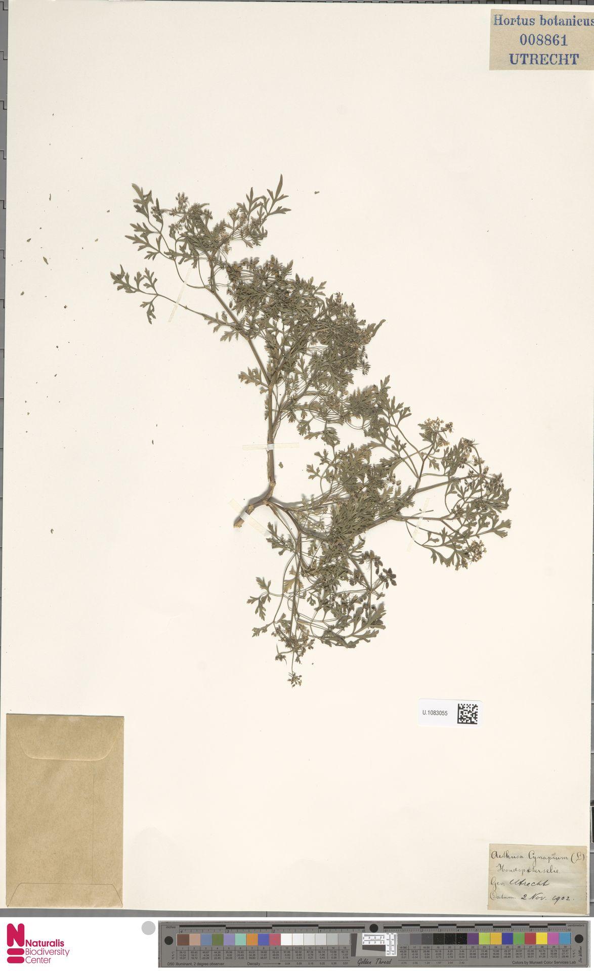 U.1083055 | Aethusa cynapium L.