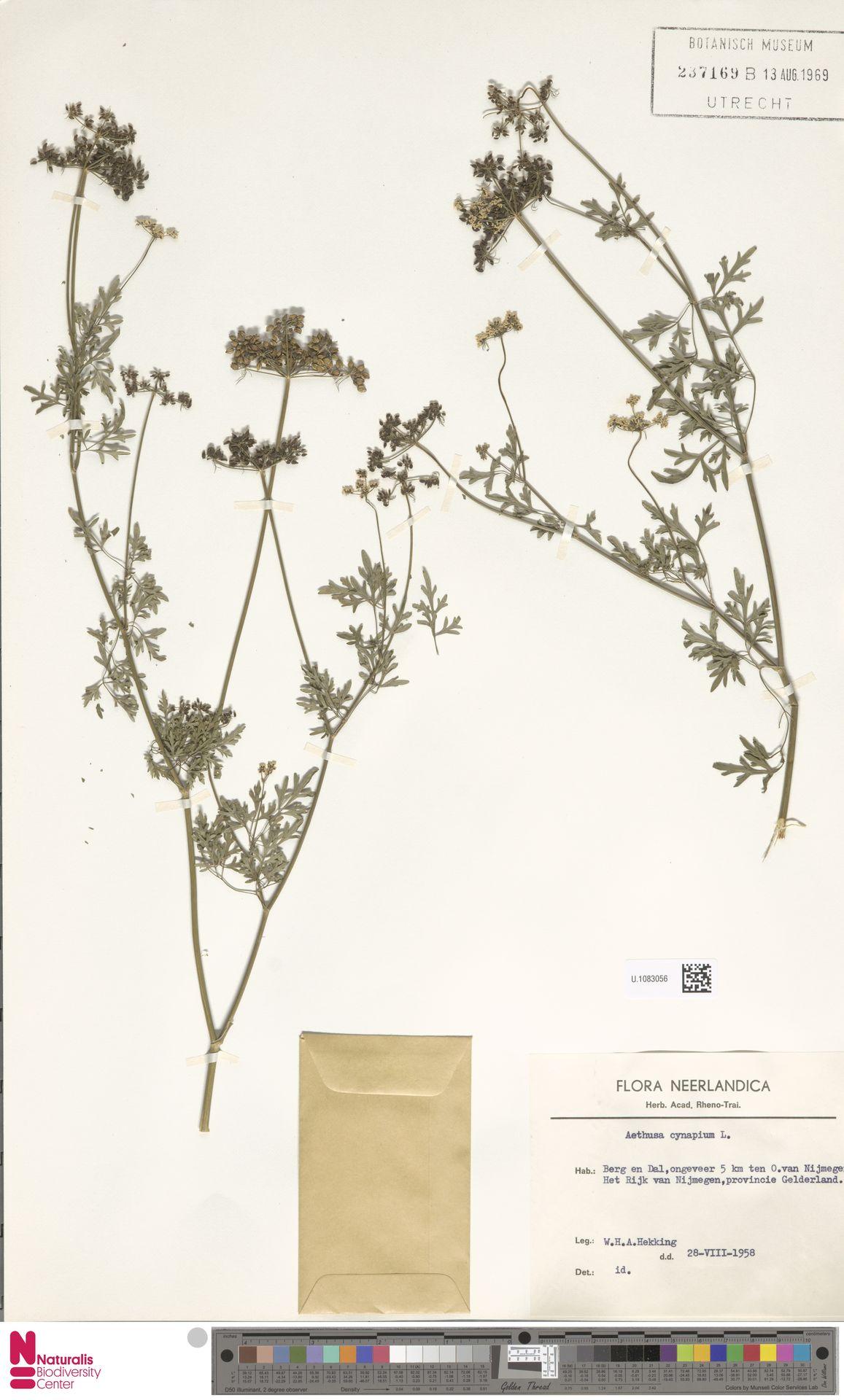 U.1083056 | Aethusa cynapium L.
