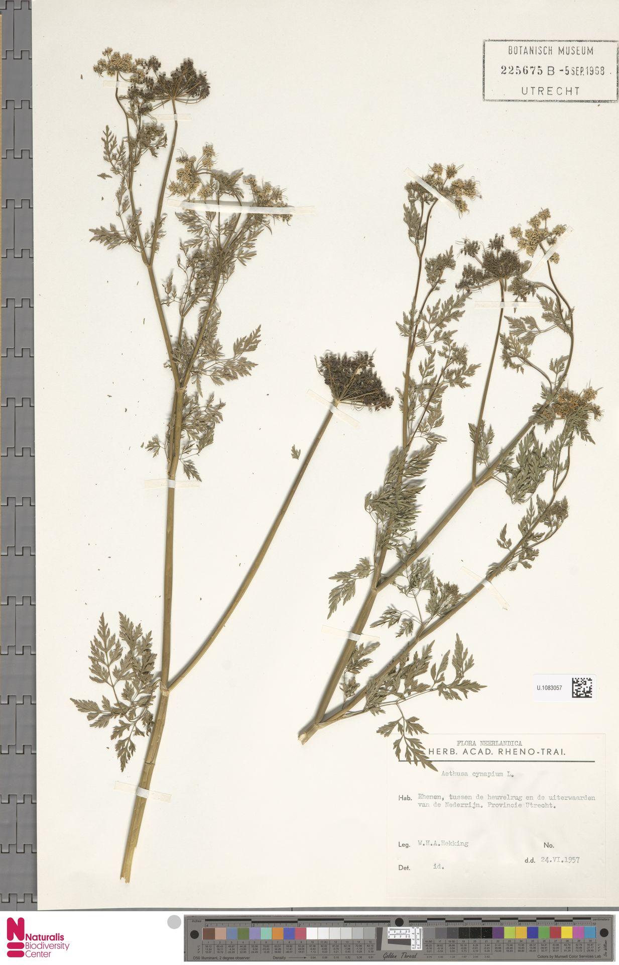 U.1083057 | Aethusa cynapium L.