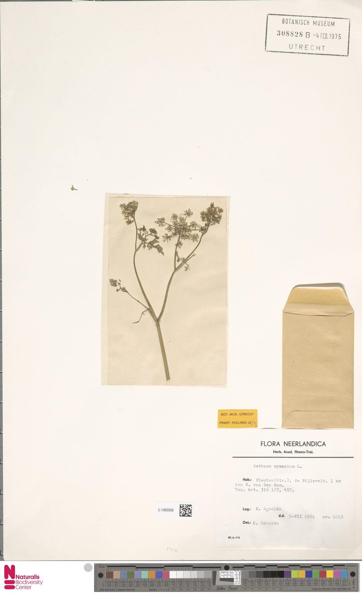 U.1083059 | Aethusa cynapium L.