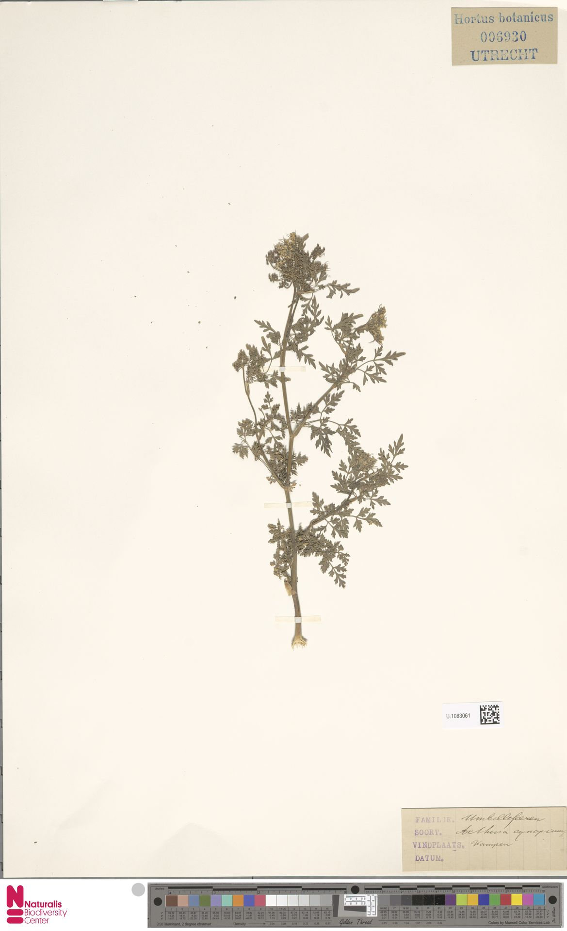 U.1083061 | Aethusa cynapium L.