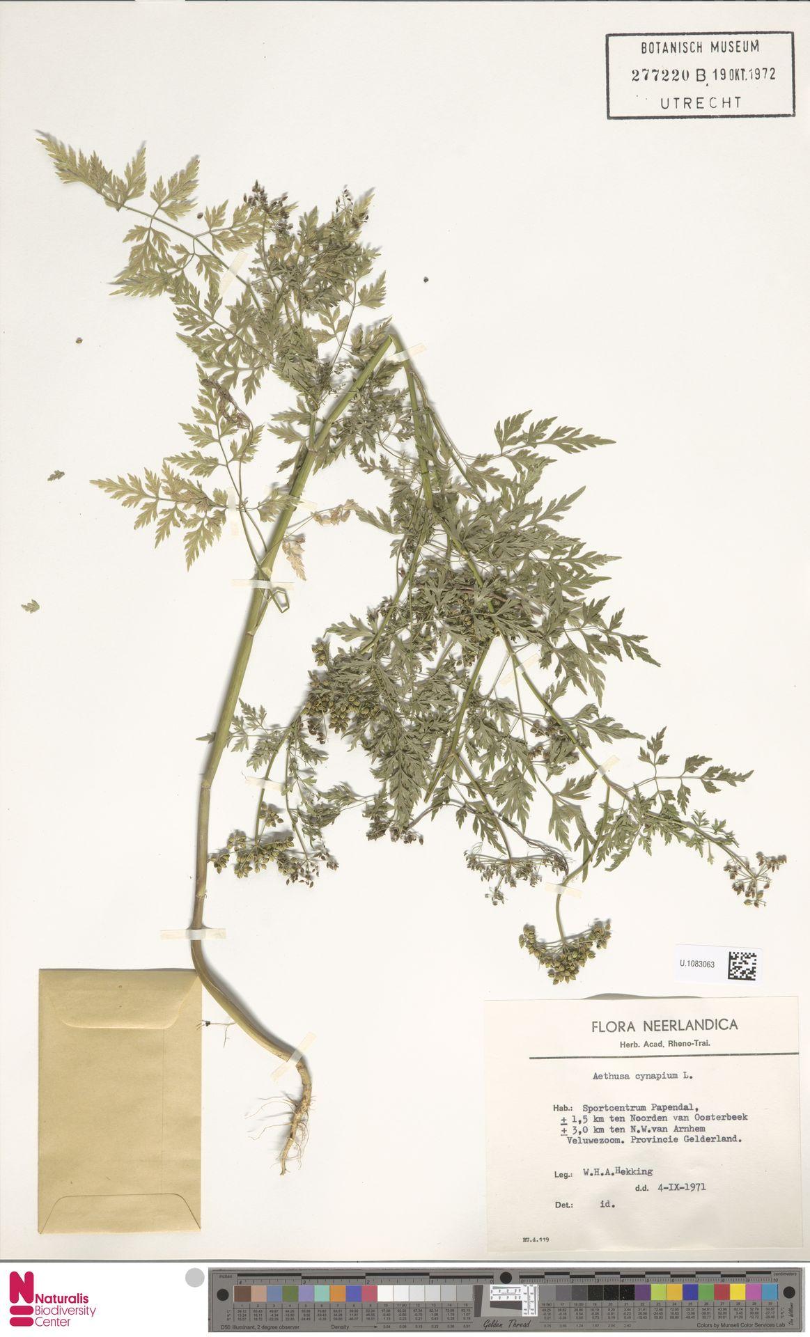 U.1083063 | Aethusa cynapium L.