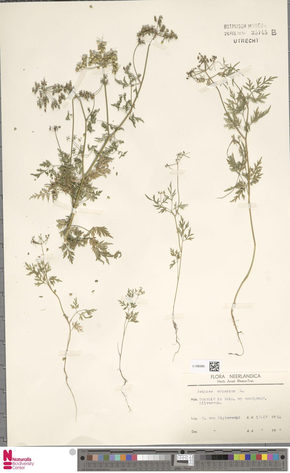 U.1083065 | Aethusa cynapium L.