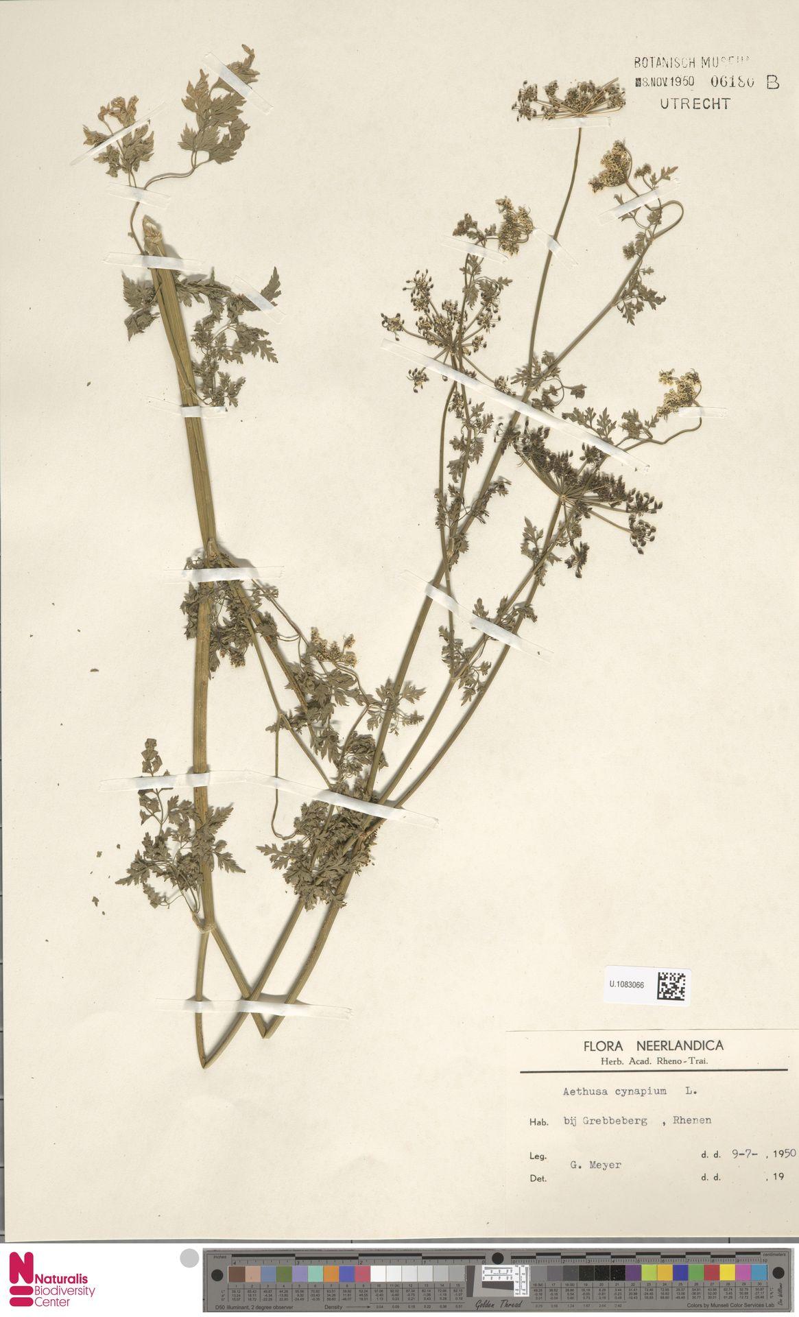 U.1083066 | Aethusa cynapium L.