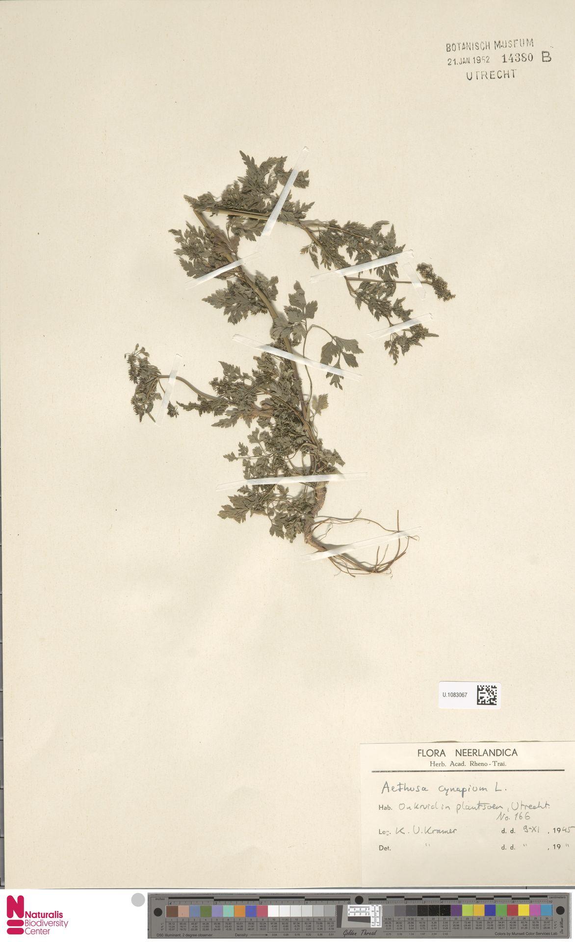 U.1083067 | Aethusa cynapium L.