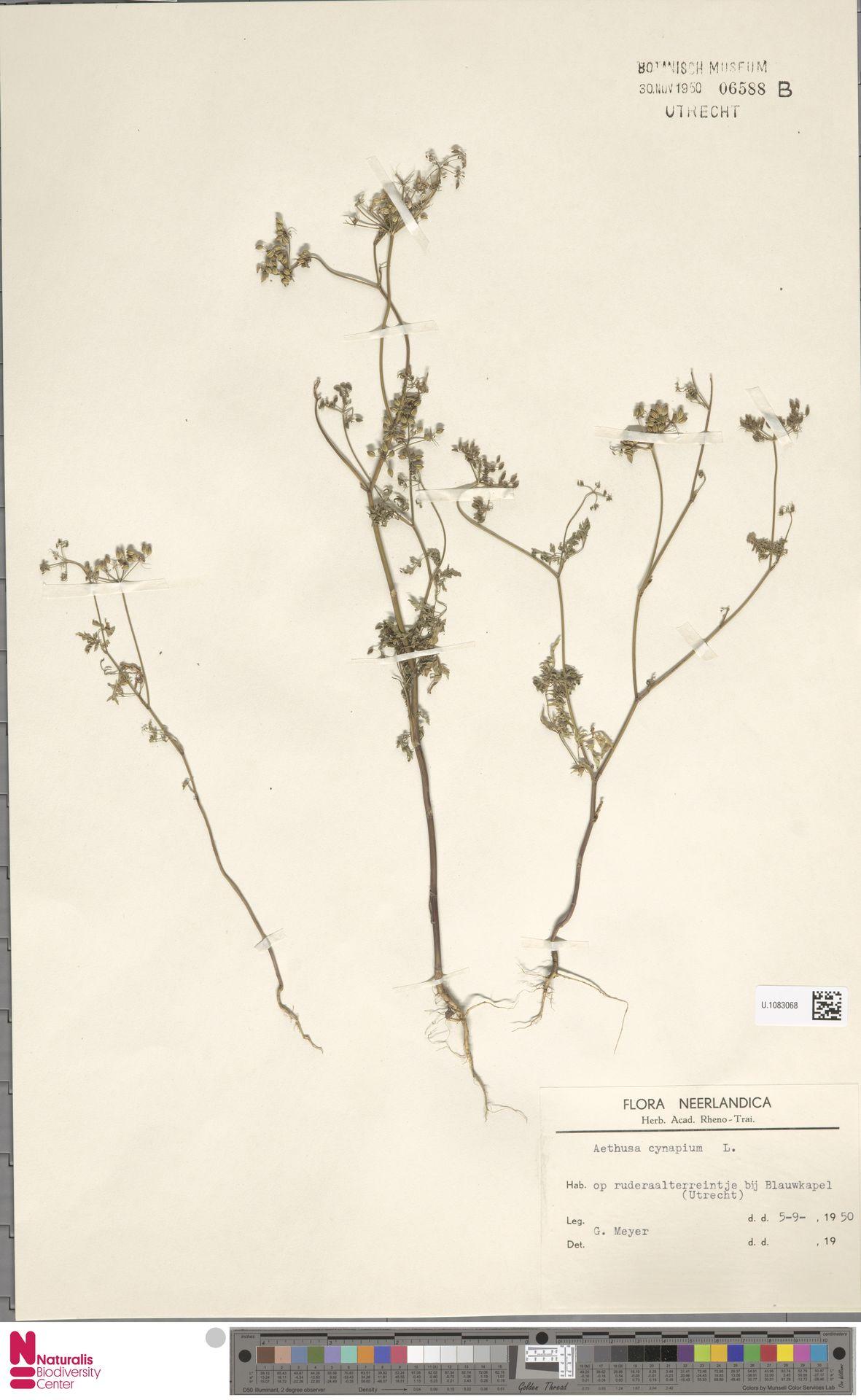 U.1083068 | Aethusa cynapium L.