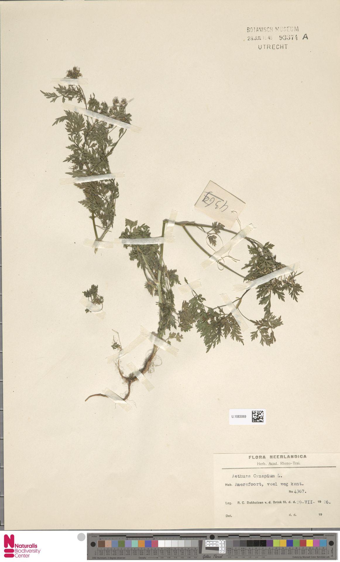 U.1083069 | Aethusa cynapium L.