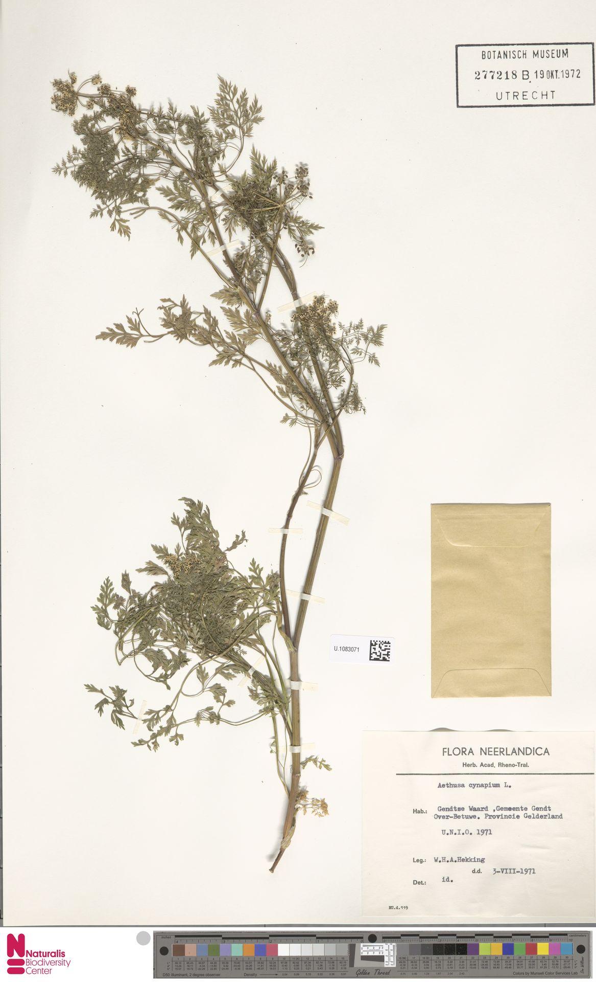 U.1083071 | Aethusa cynapium L.