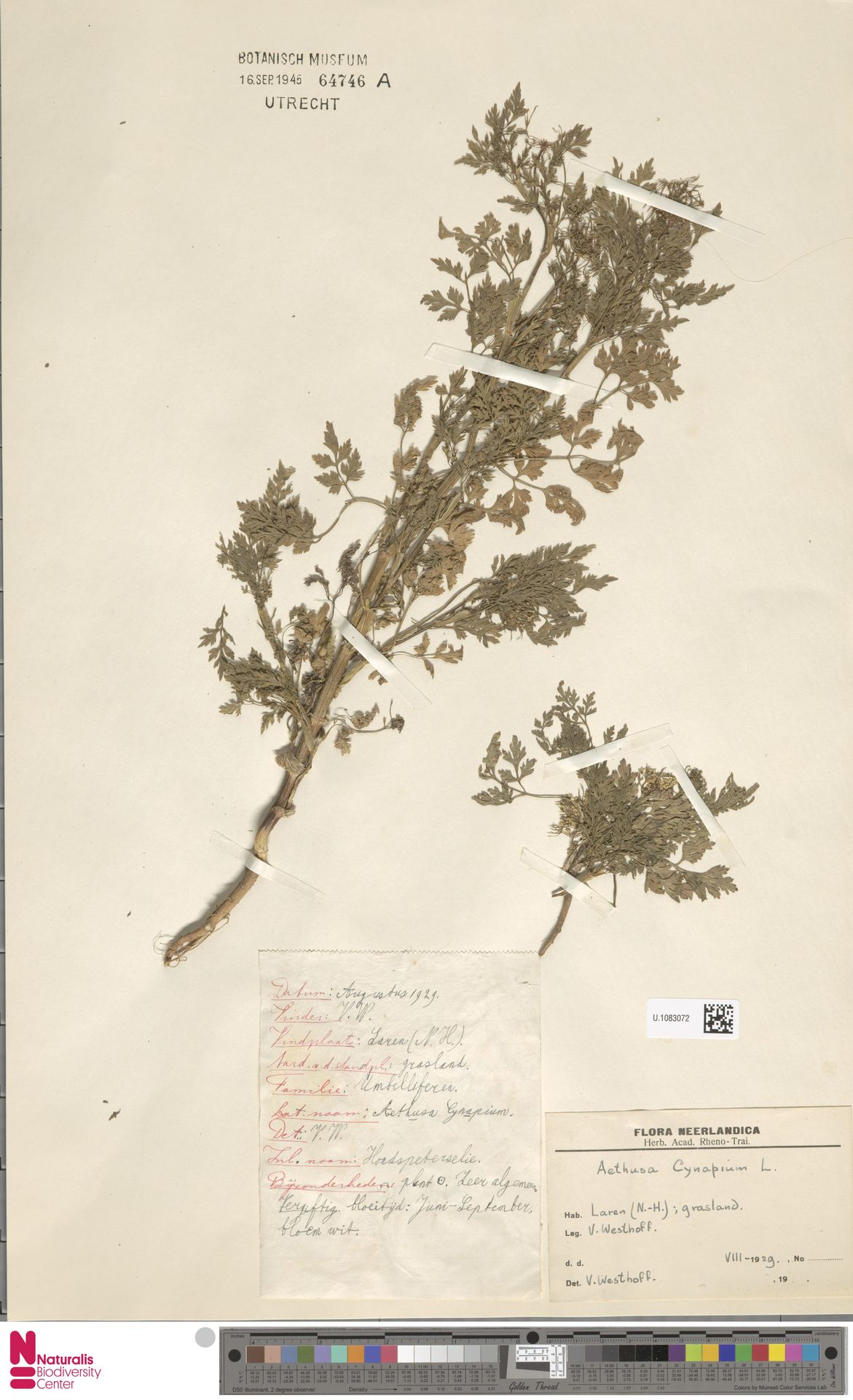 U.1083072 | Aethusa cynapium L.