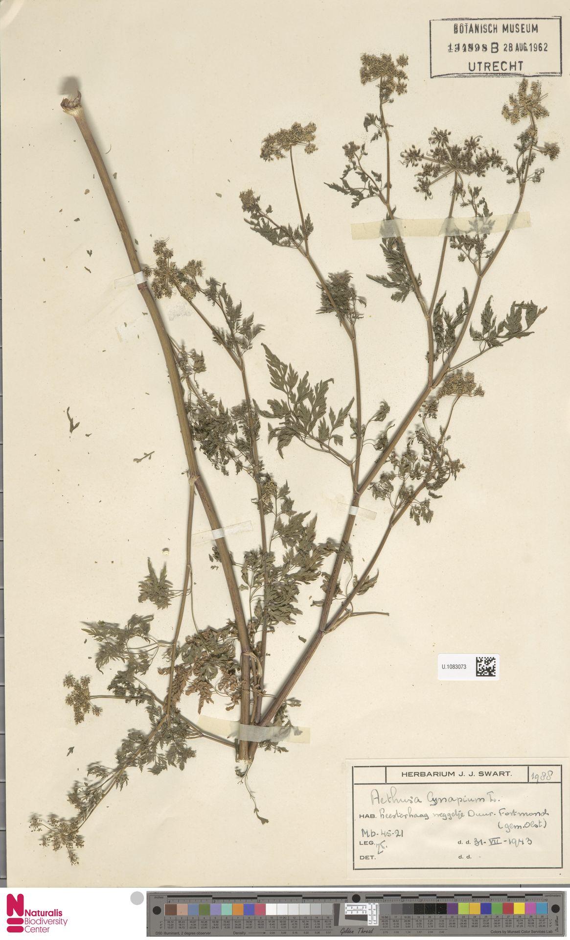 U.1083073 | Aethusa cynapium L.