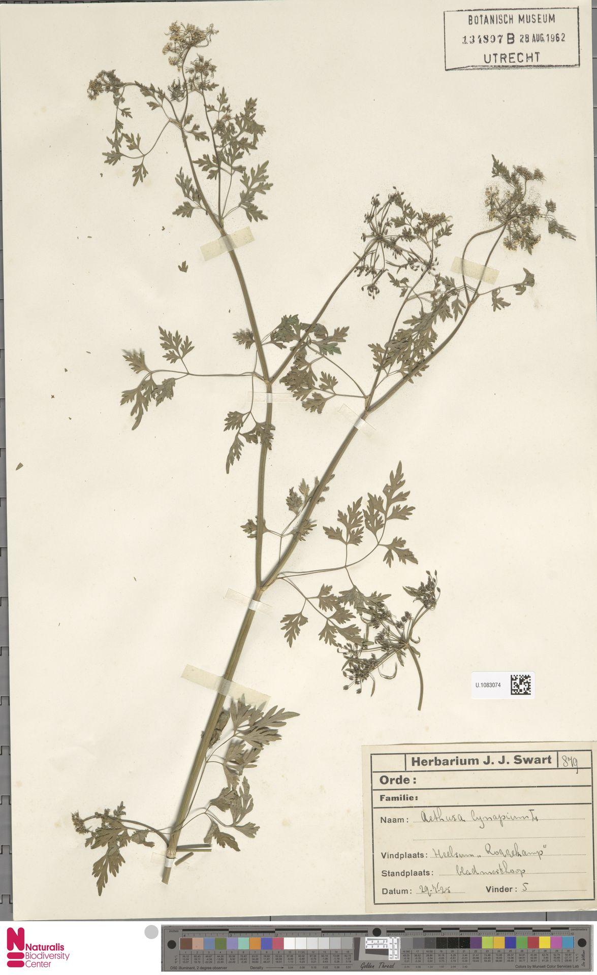U.1083074 | Aethusa cynapium L.