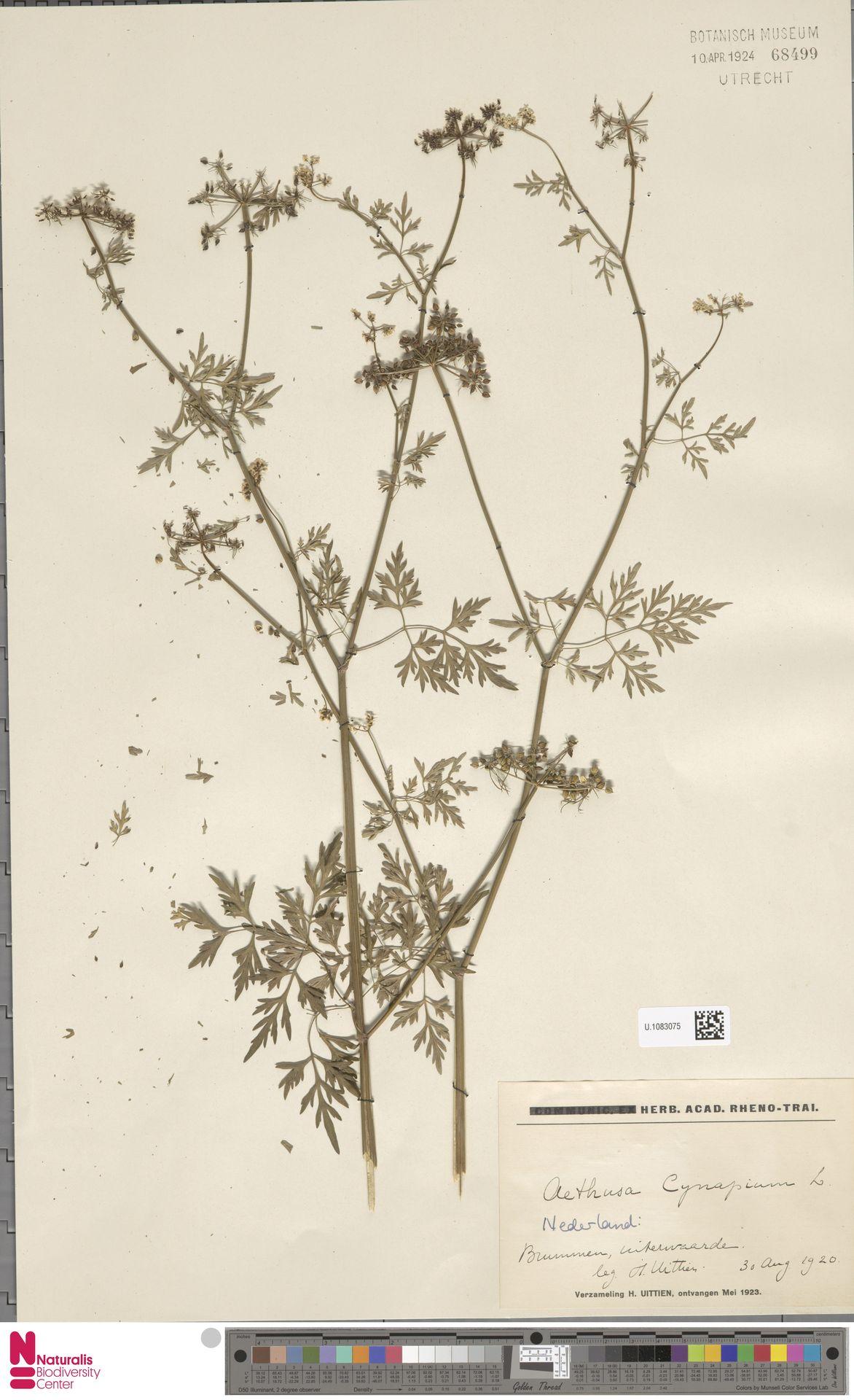 U.1083075 | Aethusa cynapium L.