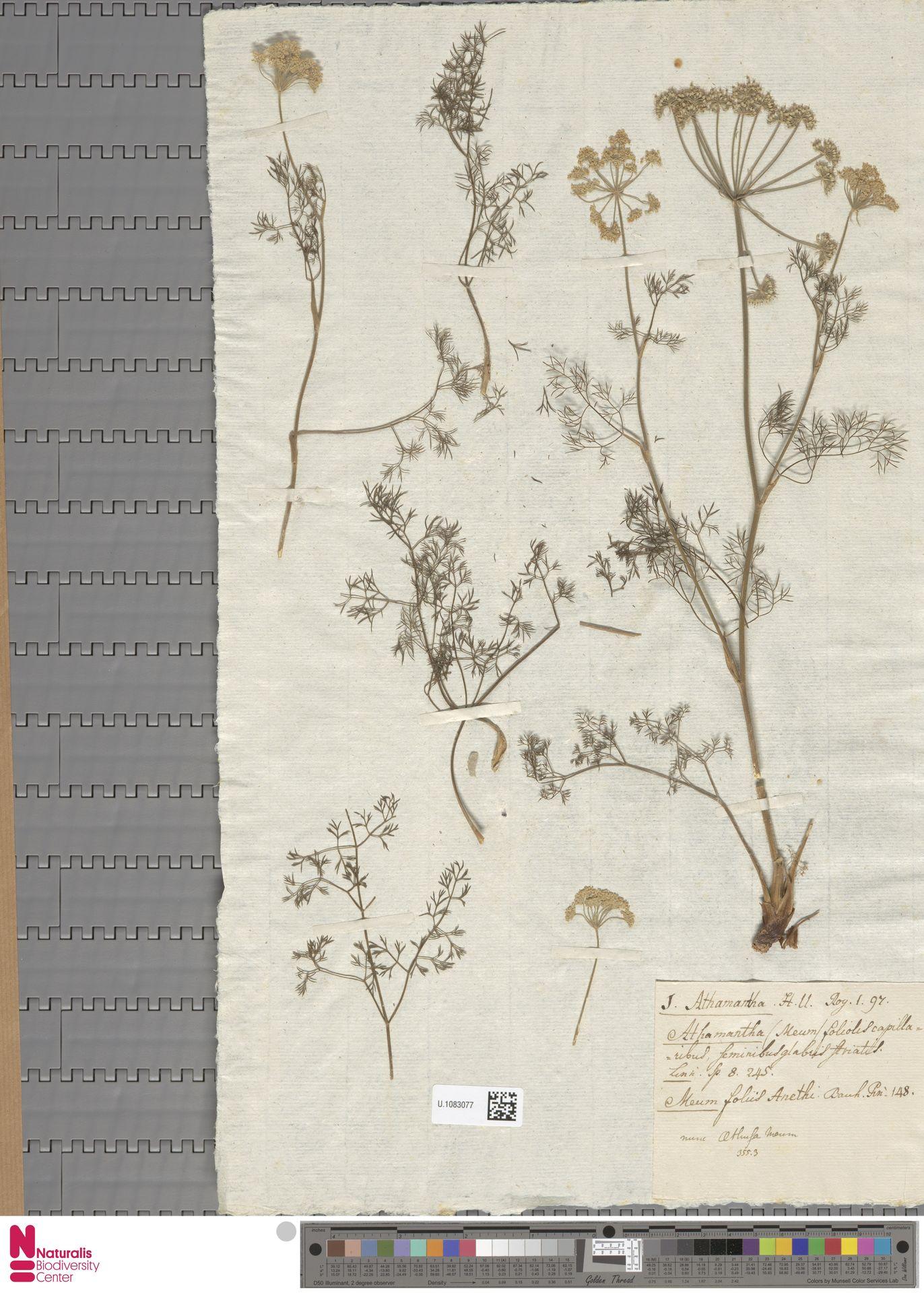 U.1083077 | Aethusa cynapium L.