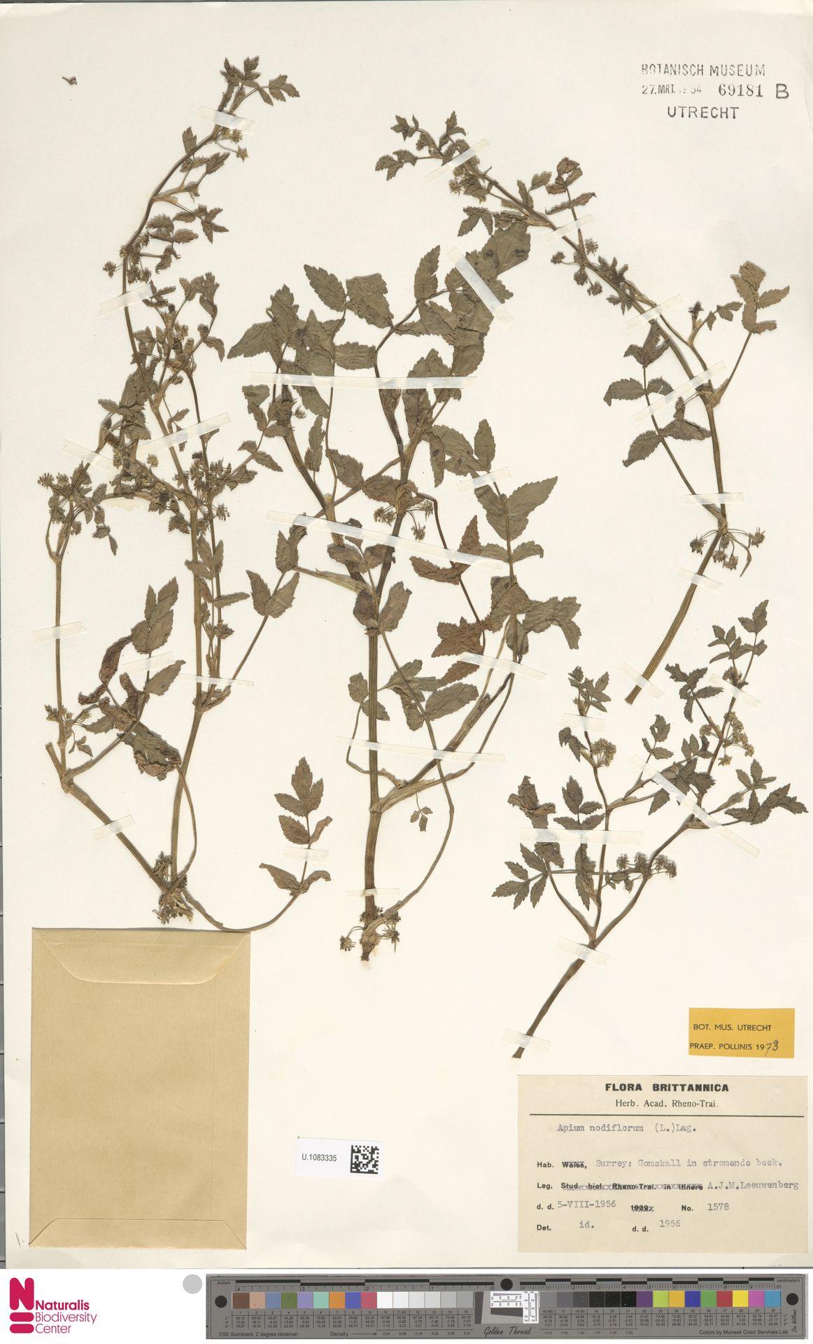U.1083335 | Apium nodiflorum (L.) Lag.