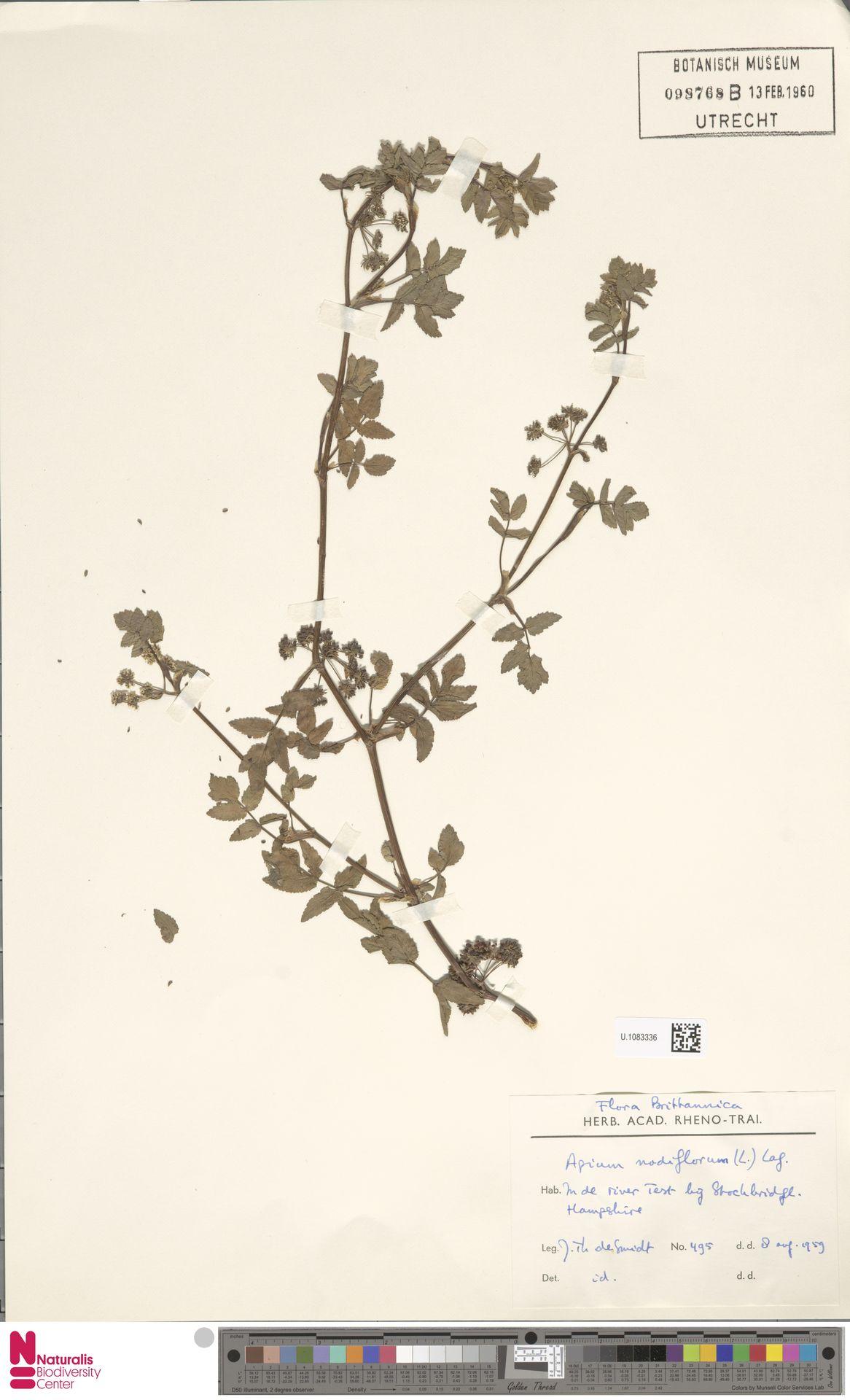 U.1083336 | Apium nodiflorum (L.) Lag.