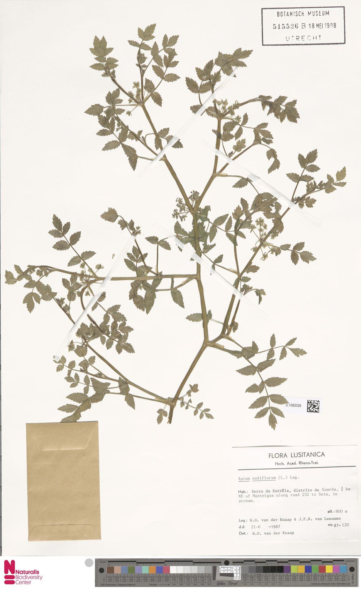 U.1083338 | Apium nodiflorum (L.) Lag.