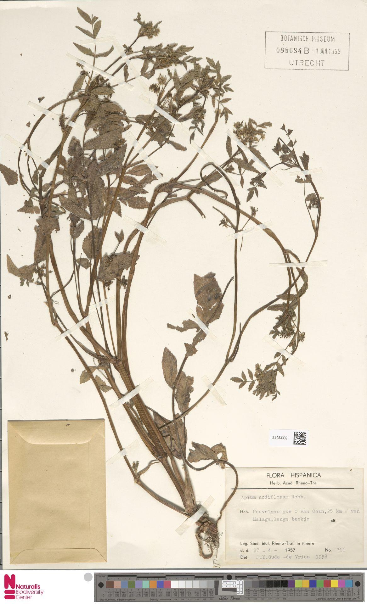 U.1083339 | Apium nodiflorum (L.) Lag.