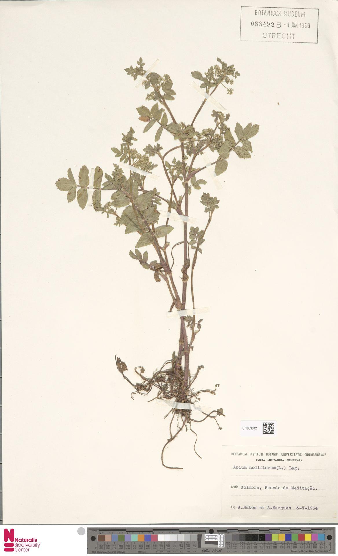 U.1083342 | Apium nodiflorum (L.) Lag.