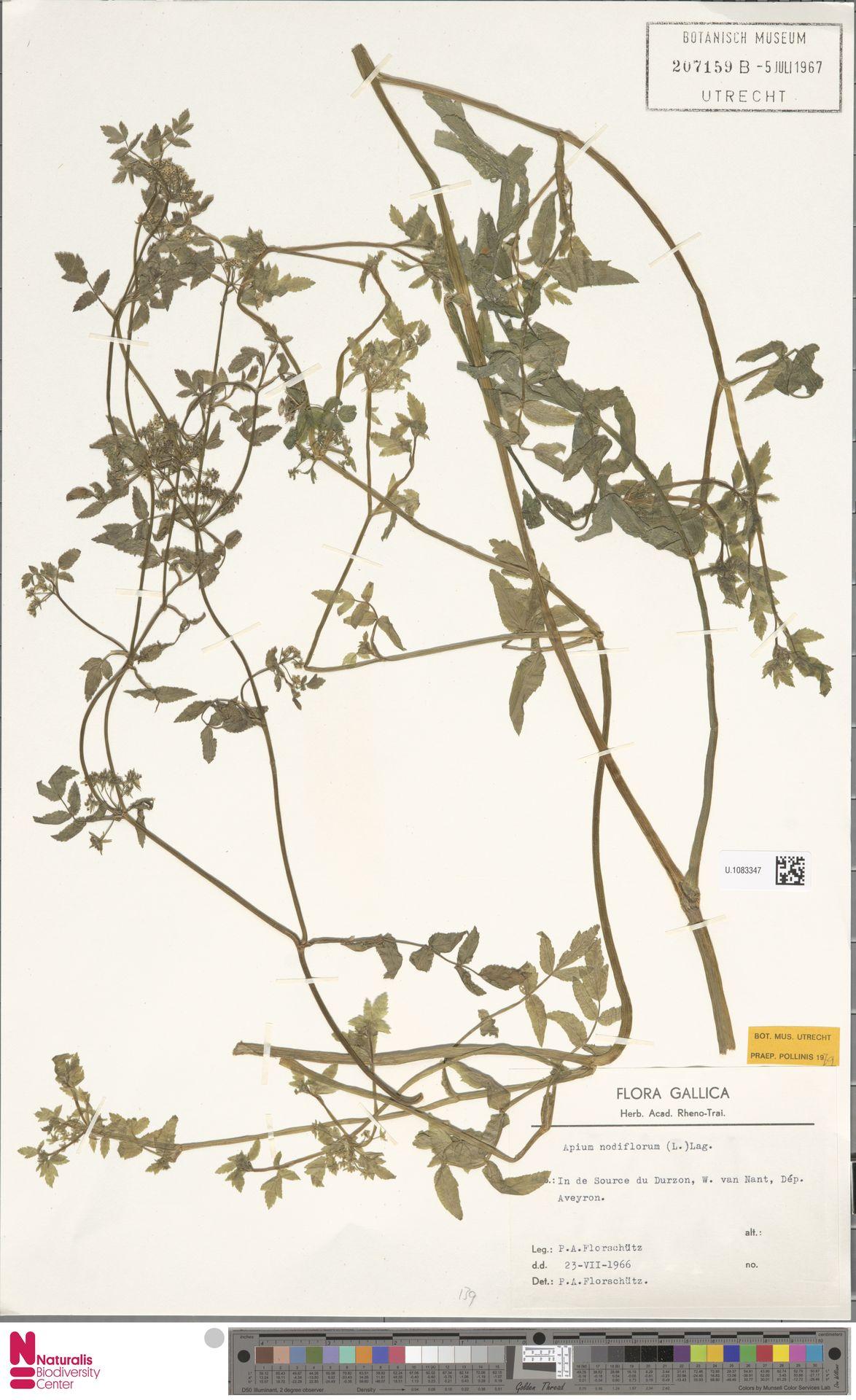 U.1083347   Apium nodiflorum (L.) Lag.