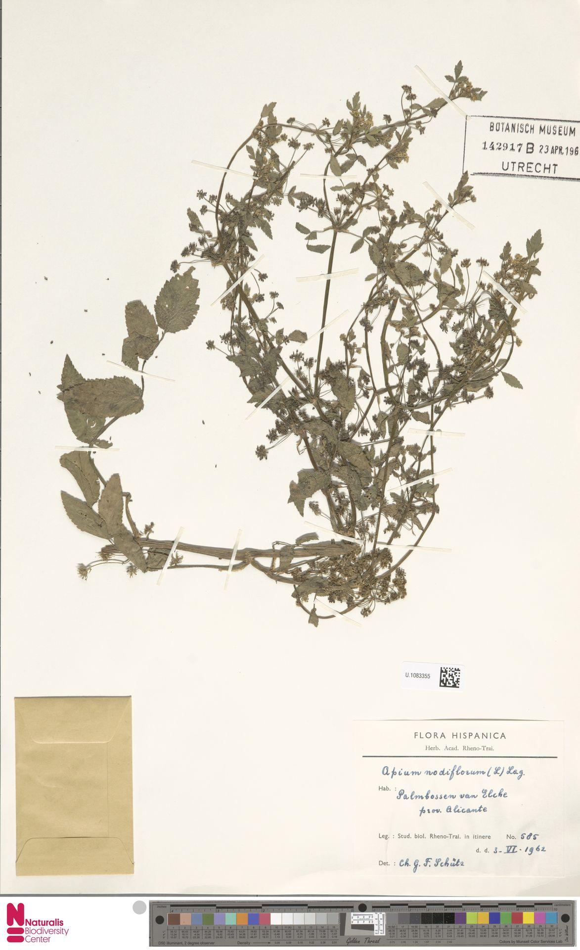 U.1083355 | Apium nodiflorum (L.) Lag.