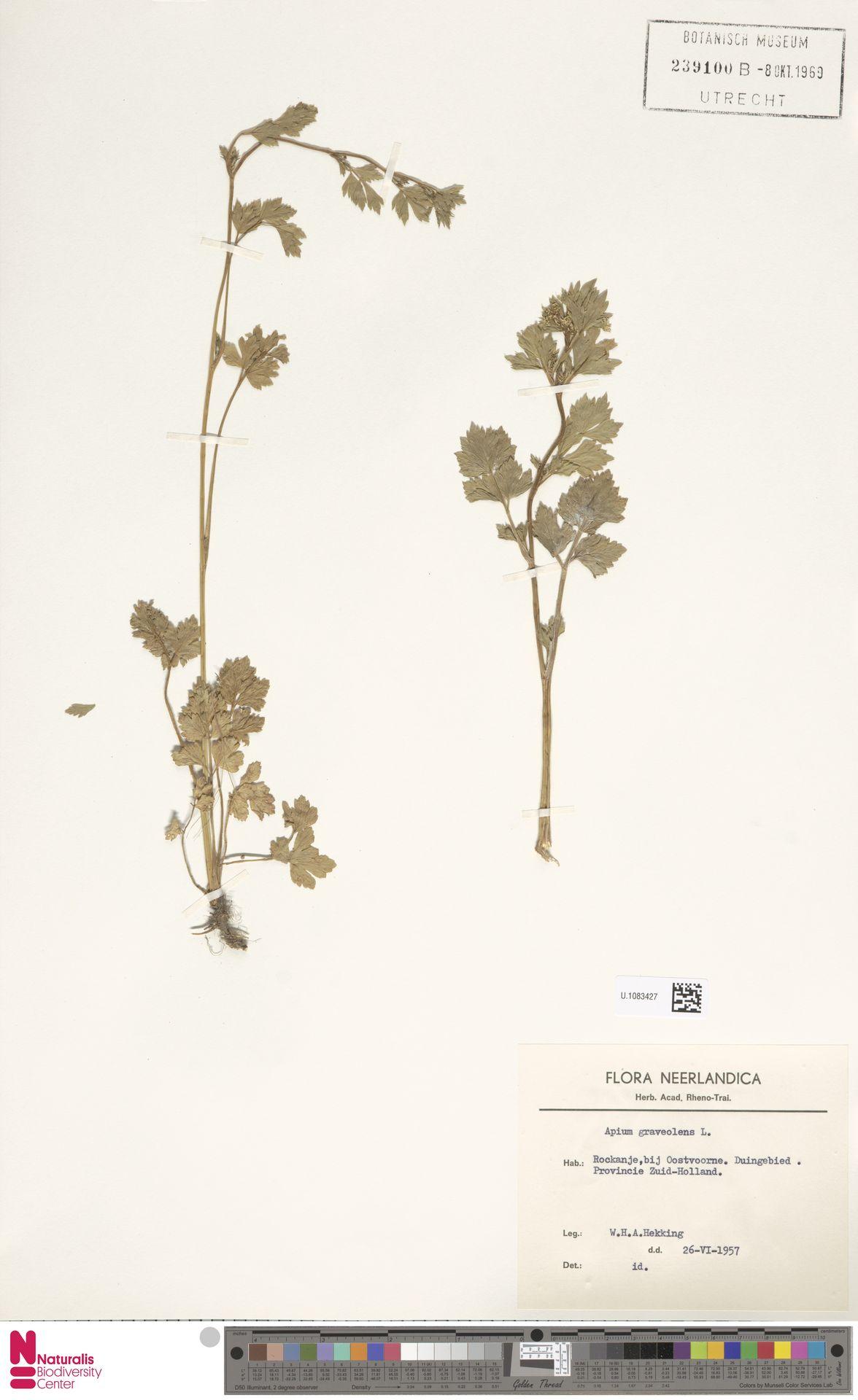 U.1083427 | Apium graveolens L.