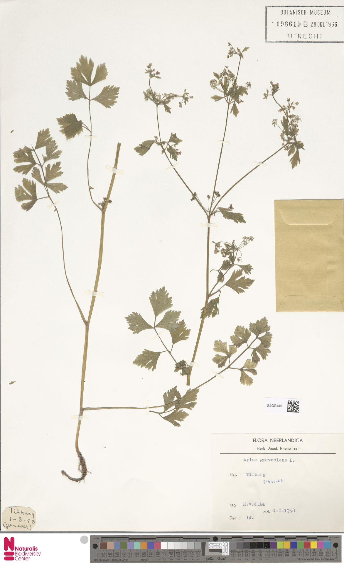 U.1083430   Apium graveolens L.