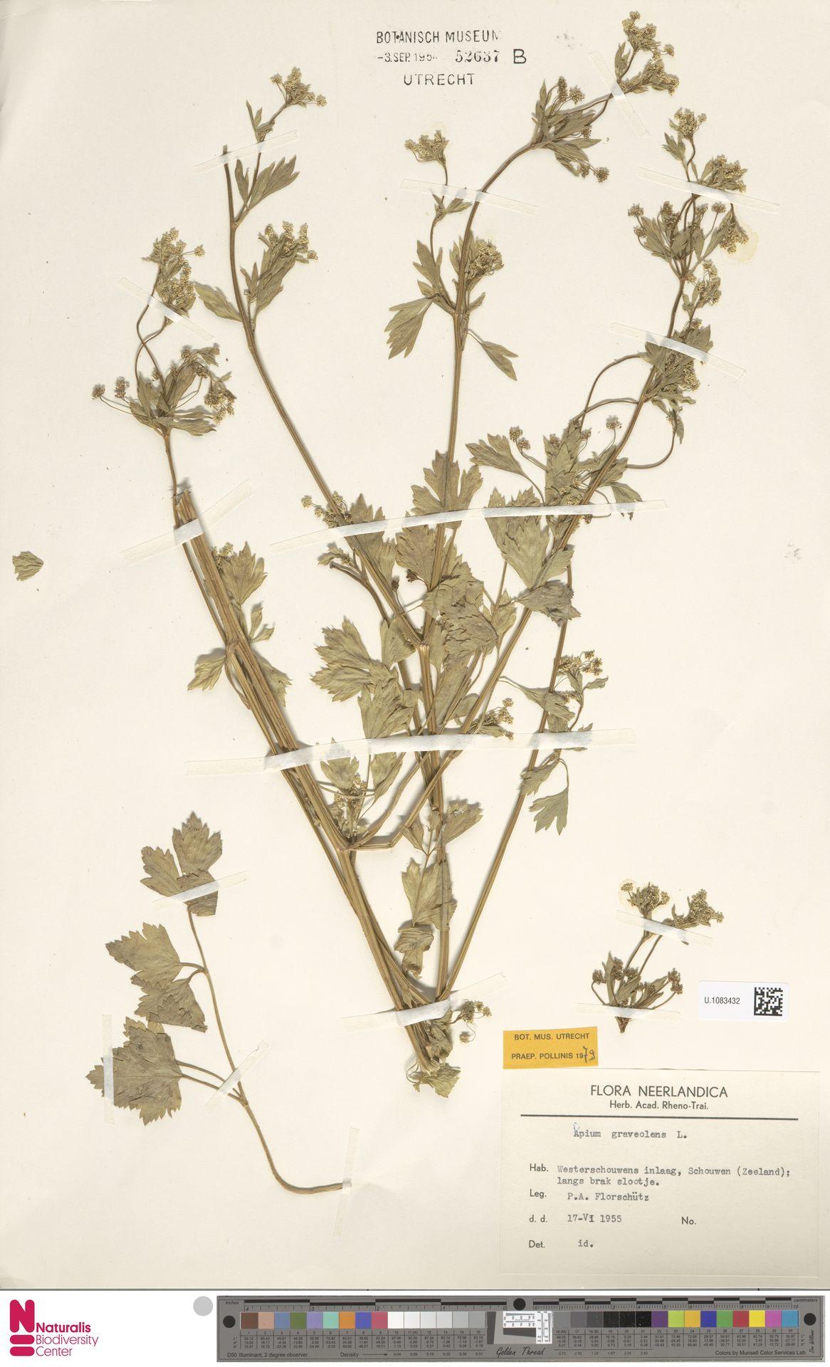 U.1083432 | Apium graveolens L.