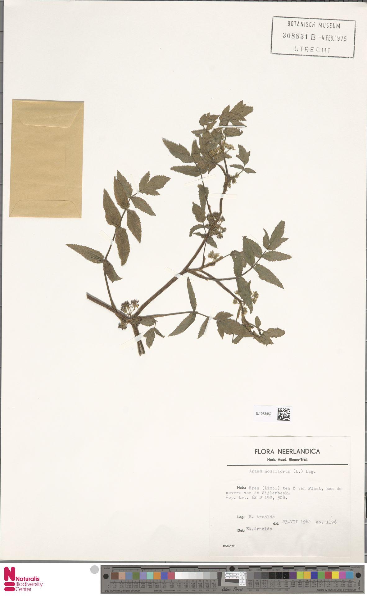 U.1083462 | Apium nodiflorum (L.) Lag.