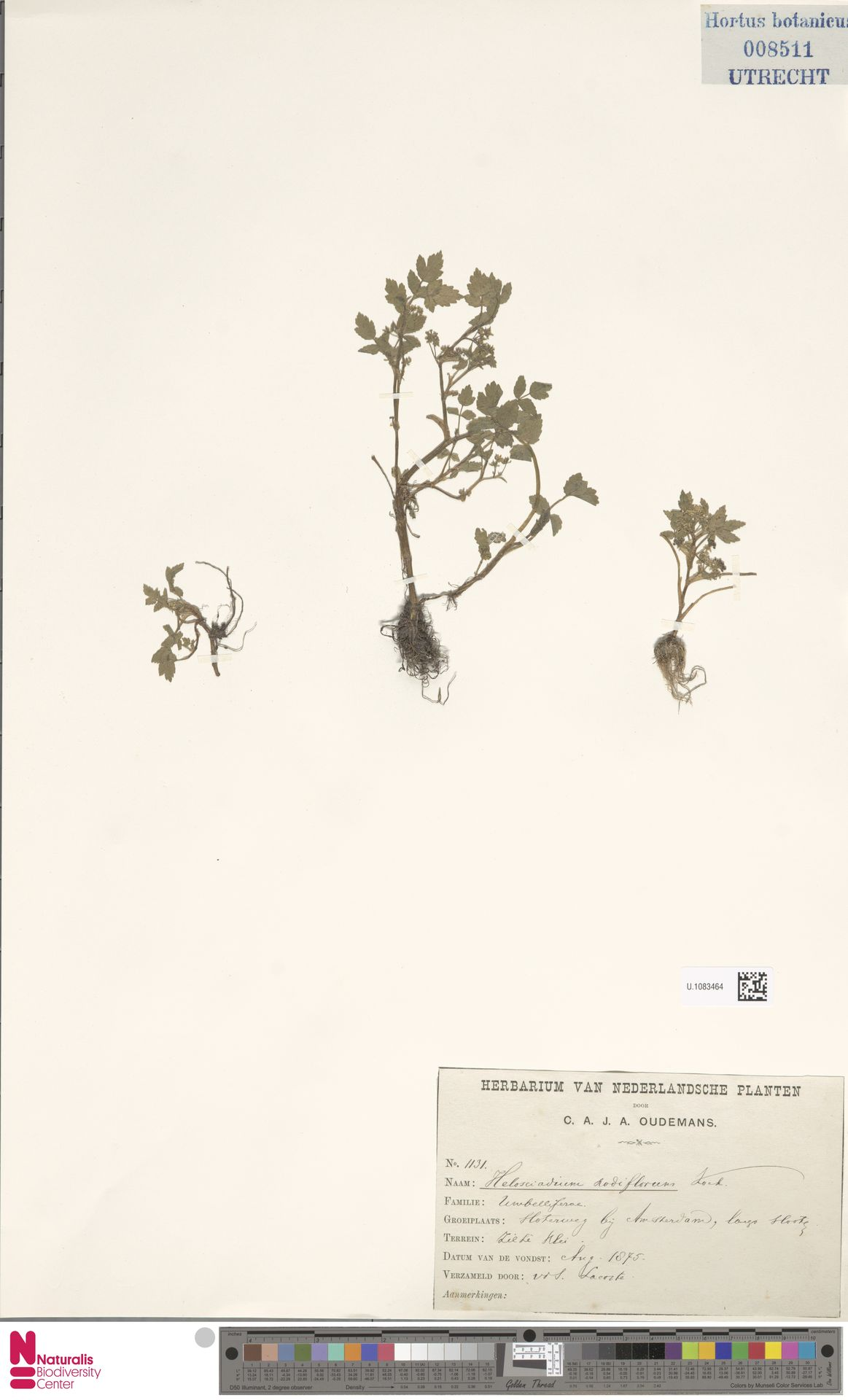 U.1083464 | Helosciadium nodiflorum (L.) Koch