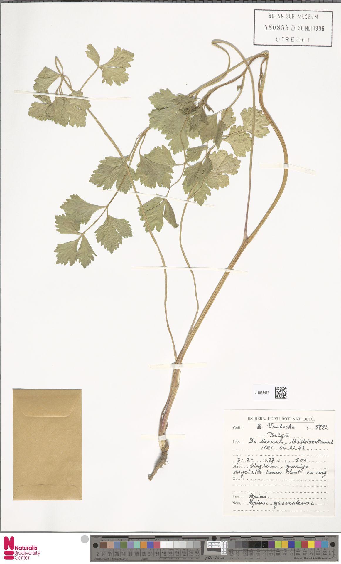U.1083472 | Apium graveolens L.