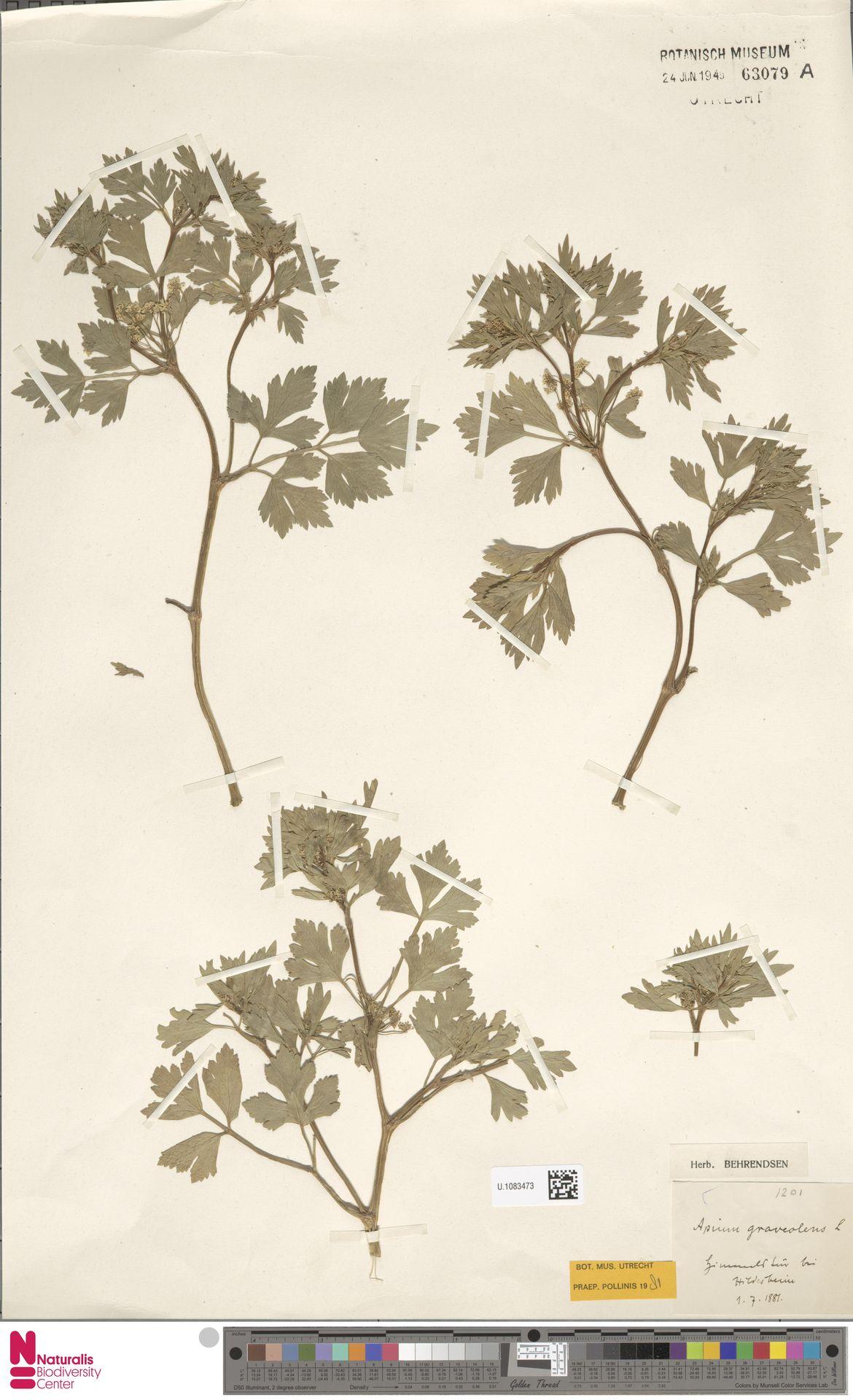 U.1083473 | Apium graveolens L.