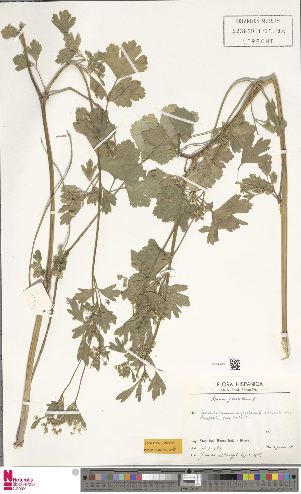 U.1083475 | Apium graveolens L.