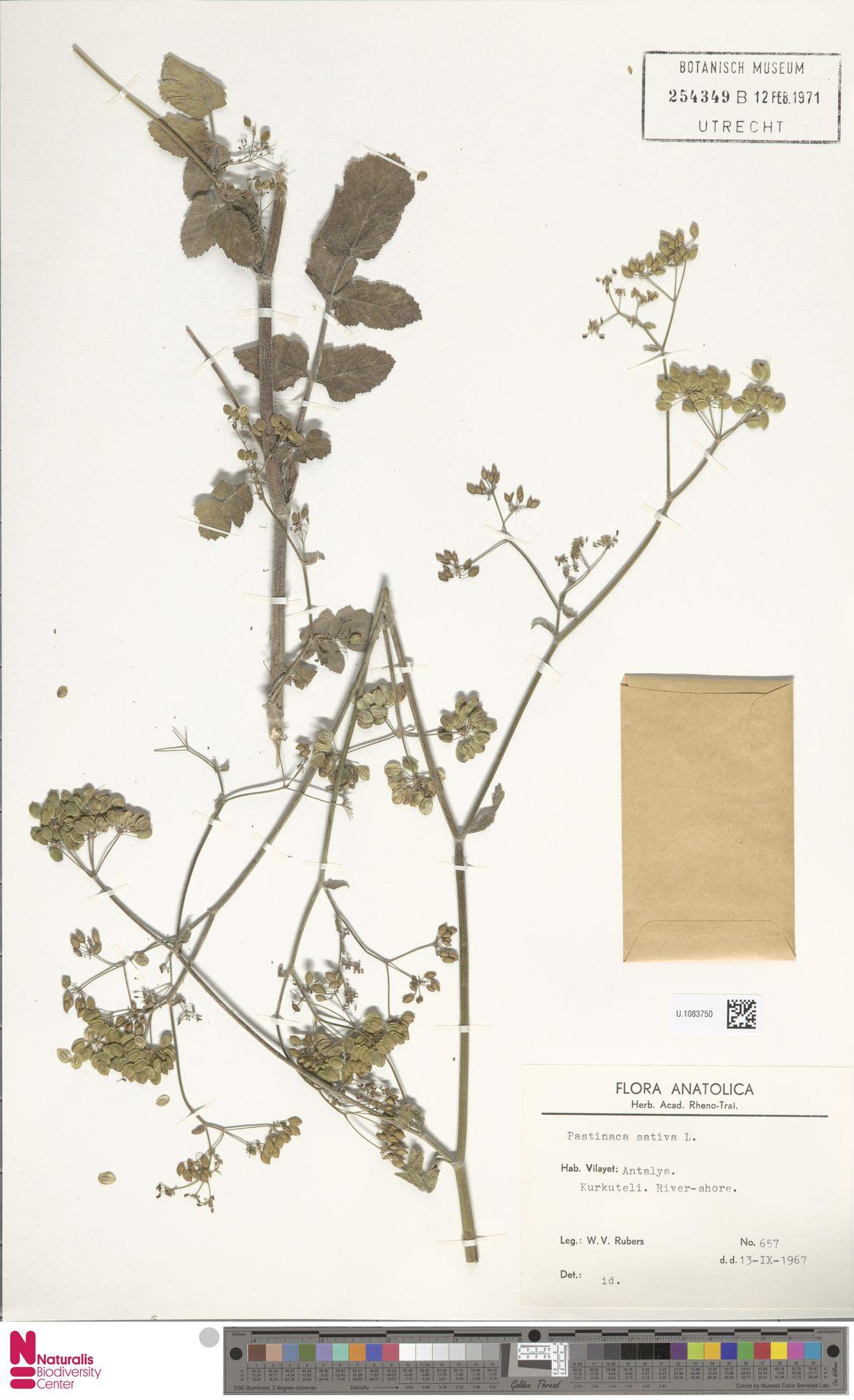 U.1083750 | Pastinaca sativa L.