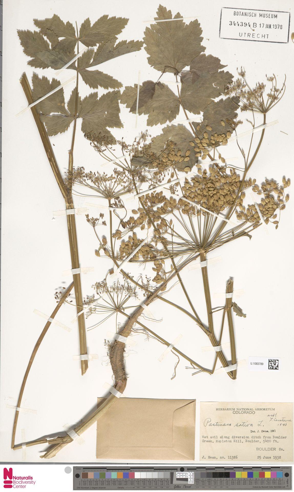 U.1083789 | Pastinaca sativa L.