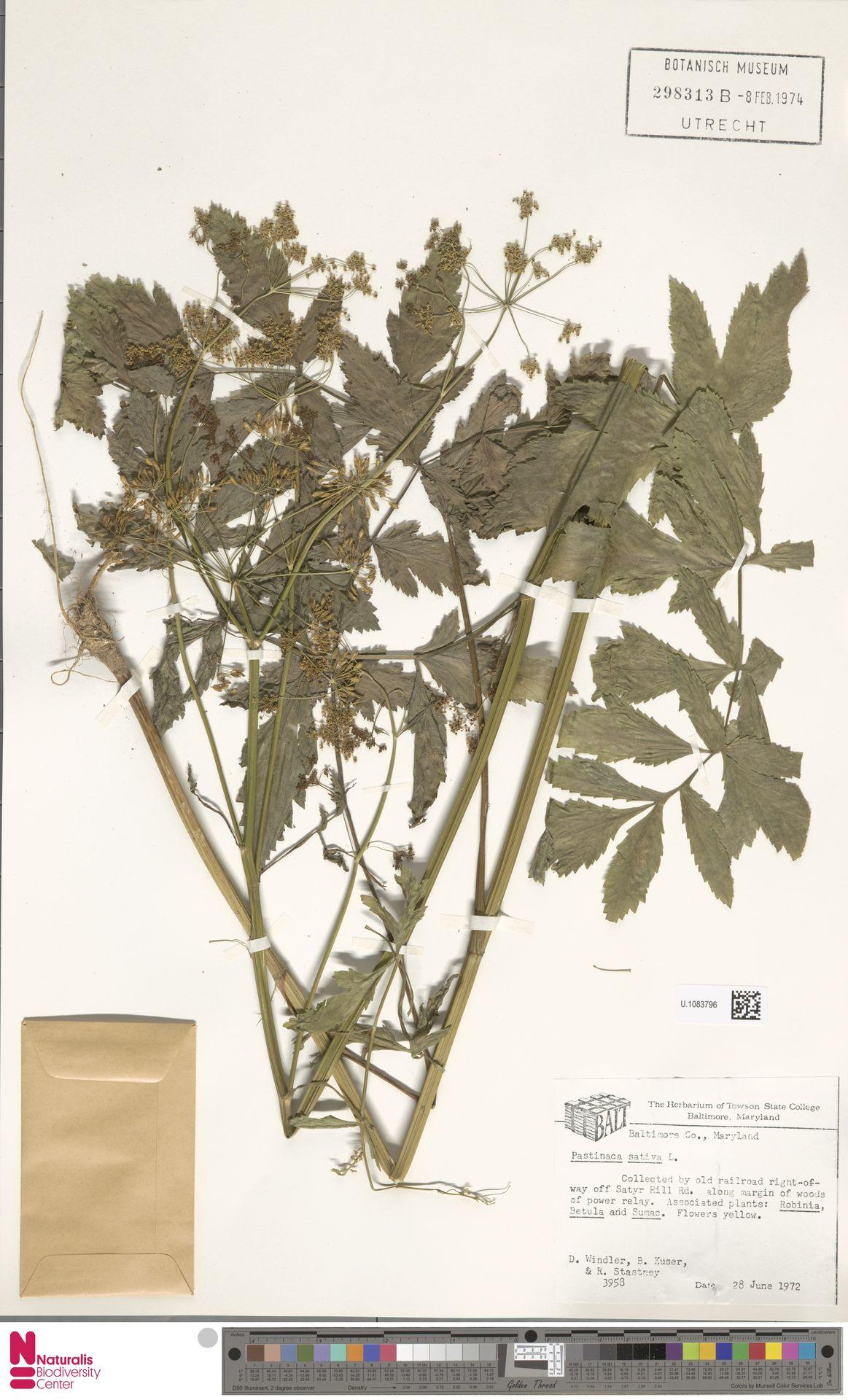 U.1083796 | Pastinaca sativa L.