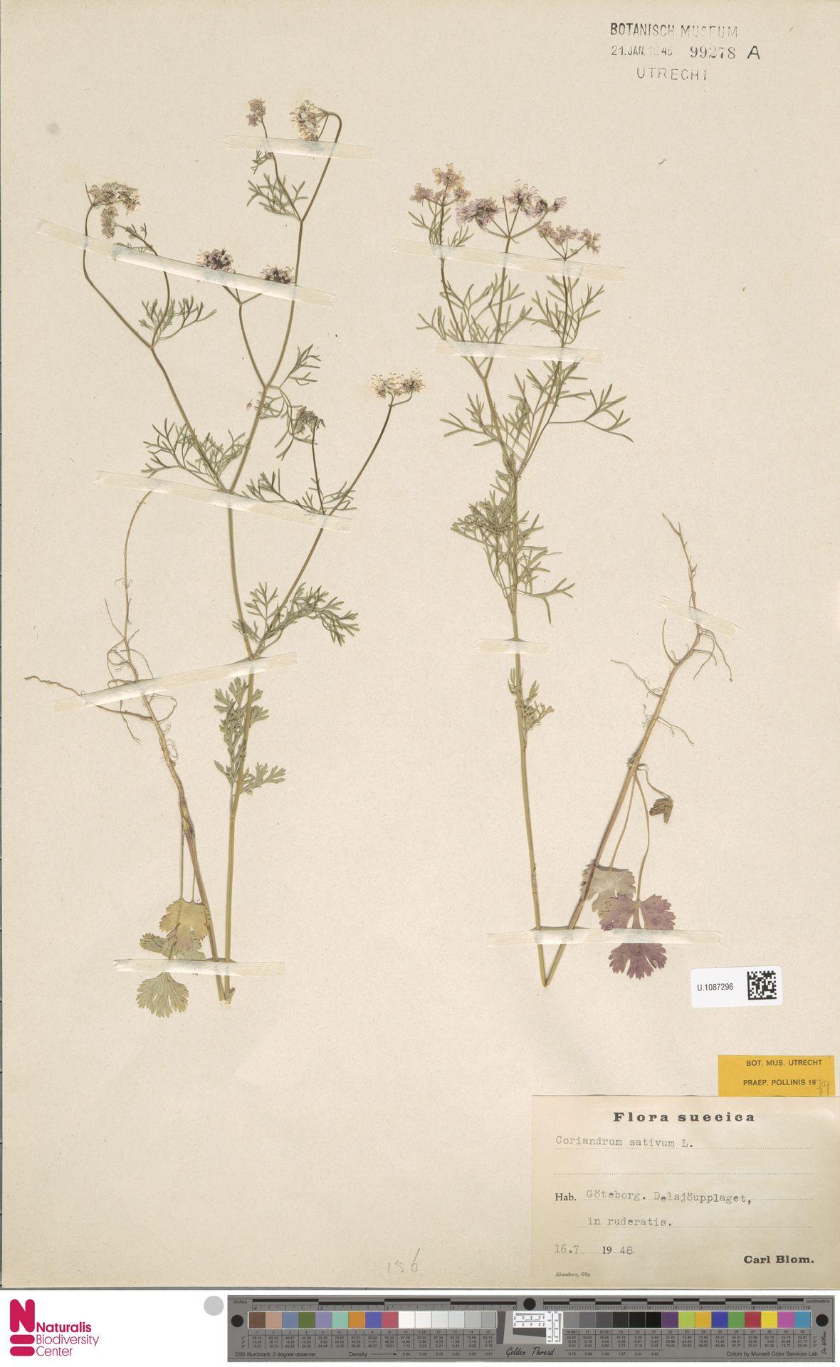 U.1087296 | Coriandrum sativum L.